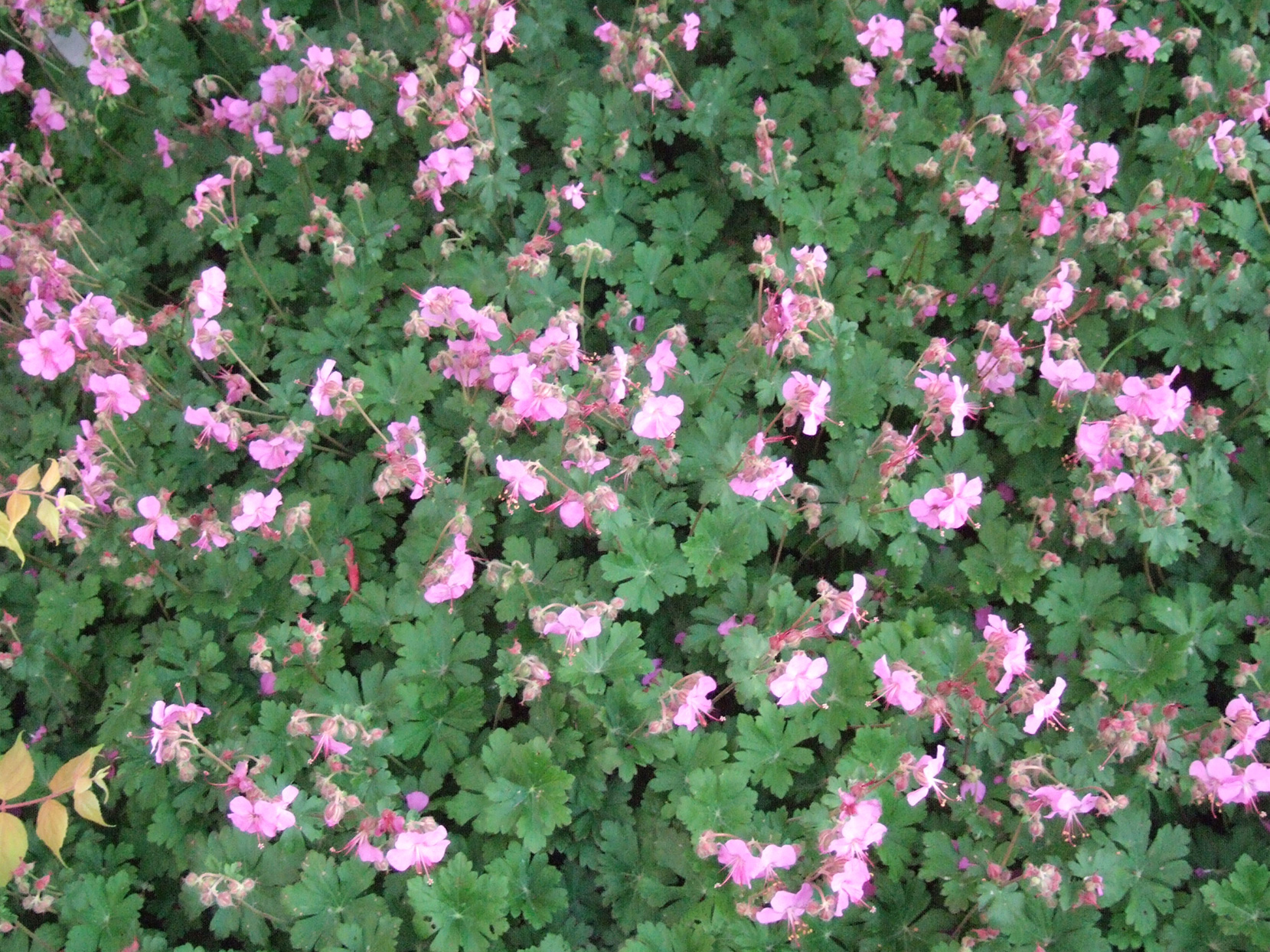 Bigroot geranium with pink flowers