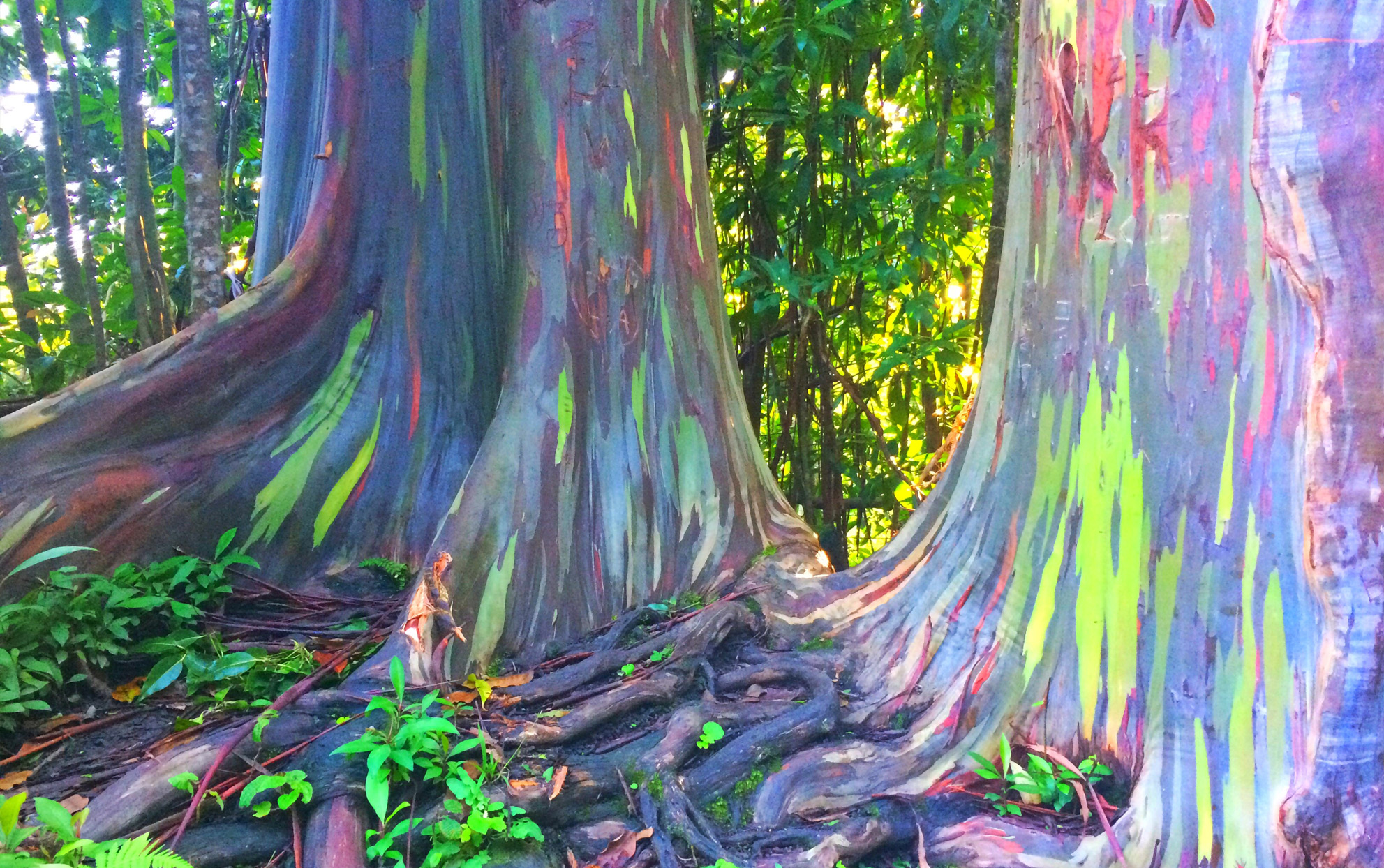Rainbow Eucalyptus Trees Look Spray-Painted (But They're Real!)