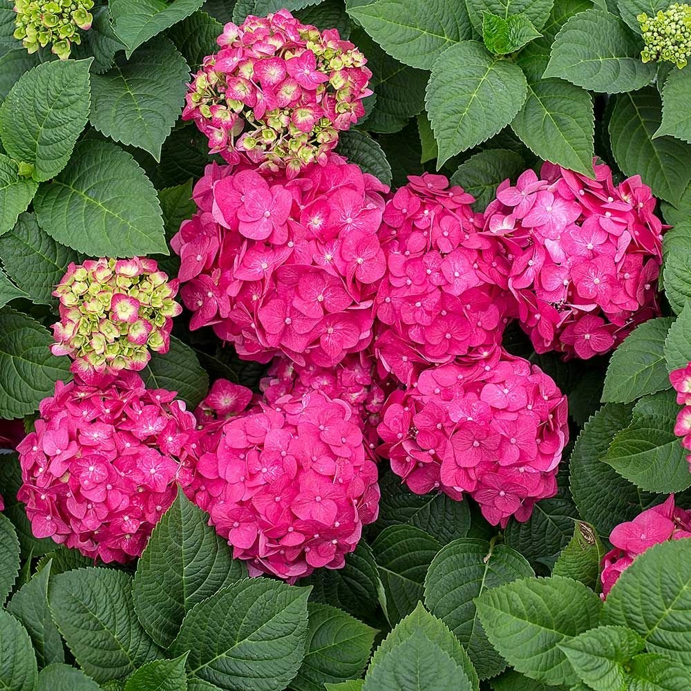 Several clusters of pink hydrangea blooms surrounded by green leaves