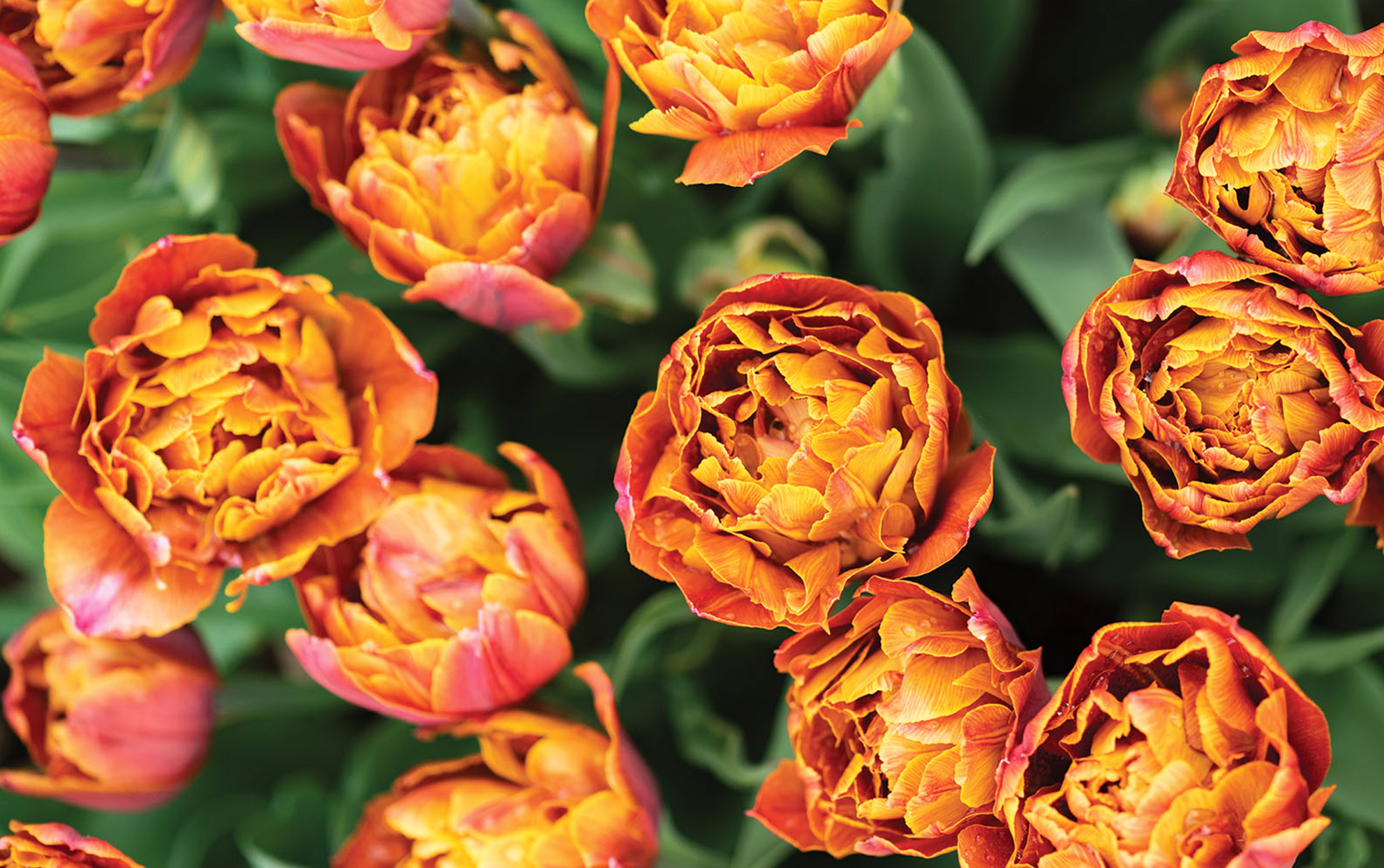 Be on the Lookout for Brownie Tulips, One of Spring's Showiest Flowers