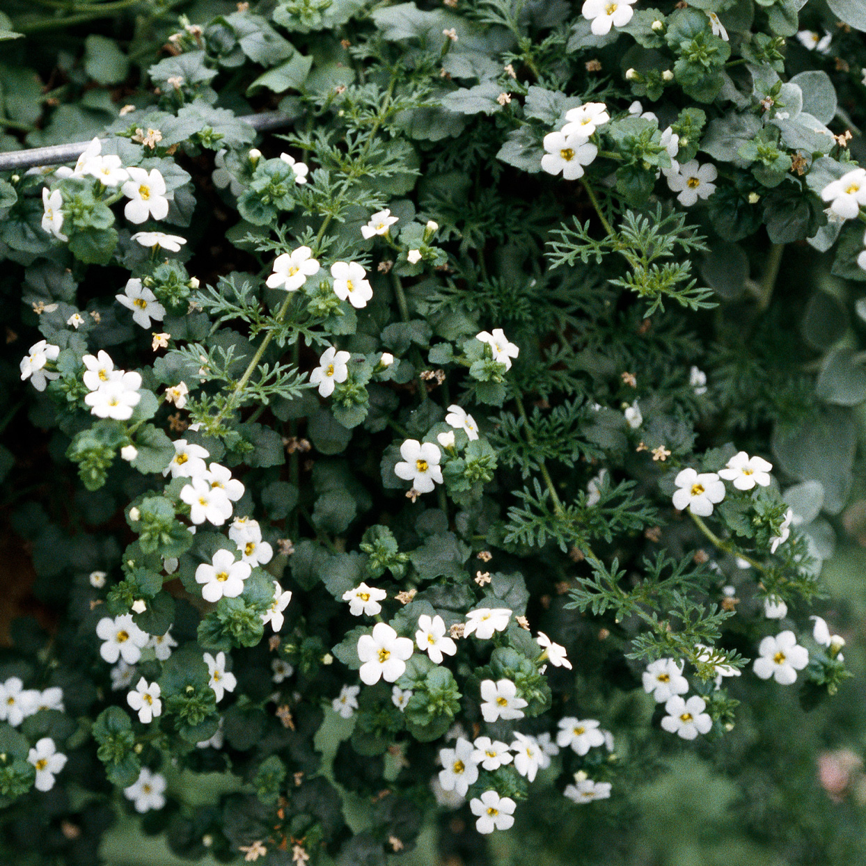 trailing stems of bacopa in bloom