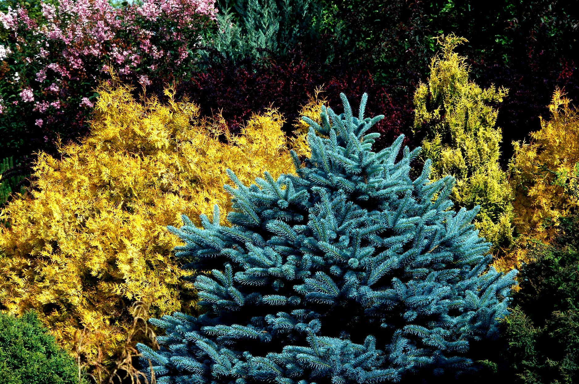 Blue spruce with golden arborvitae