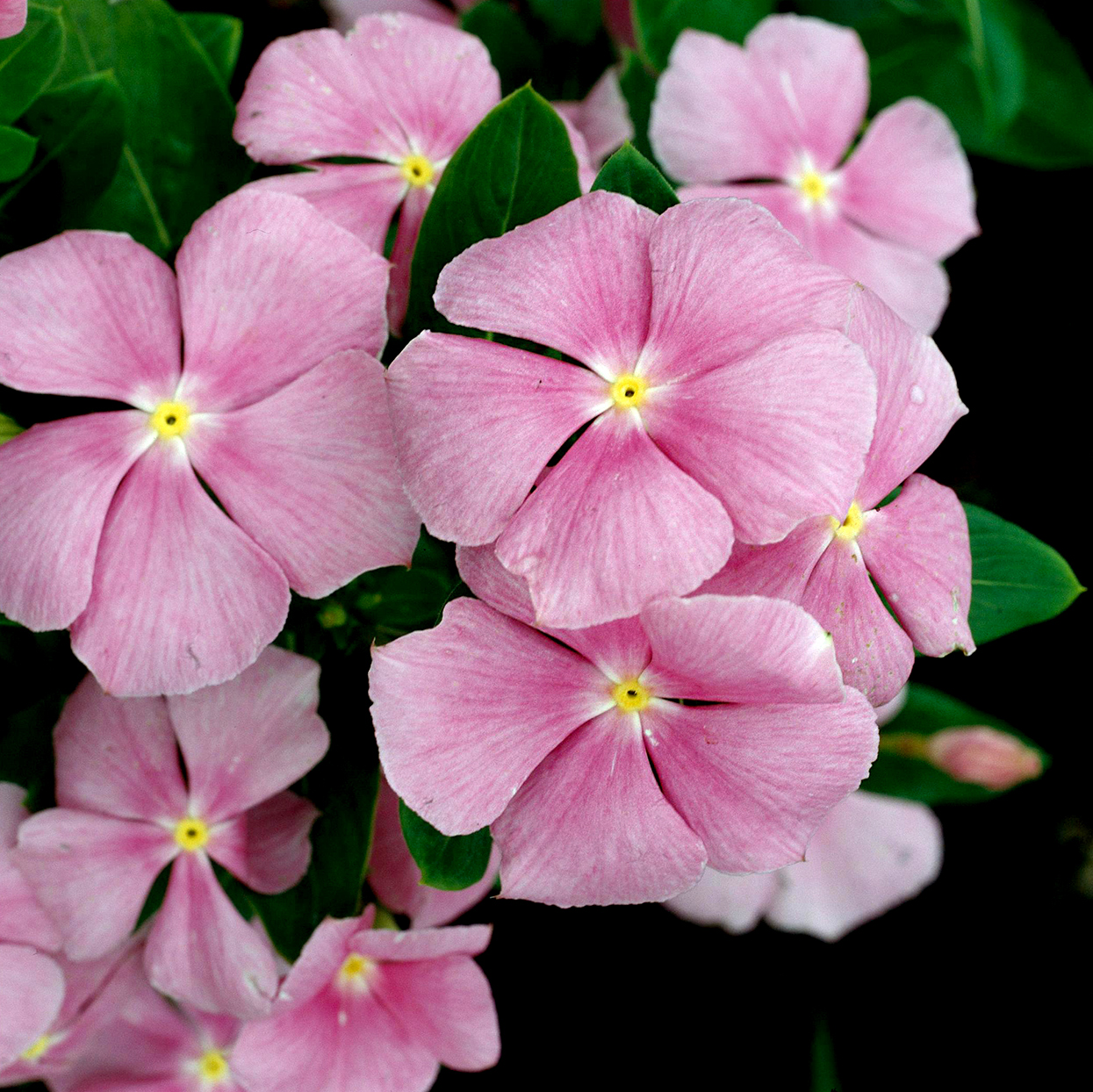 Catharanthus 'Pretty in Pink' vinca