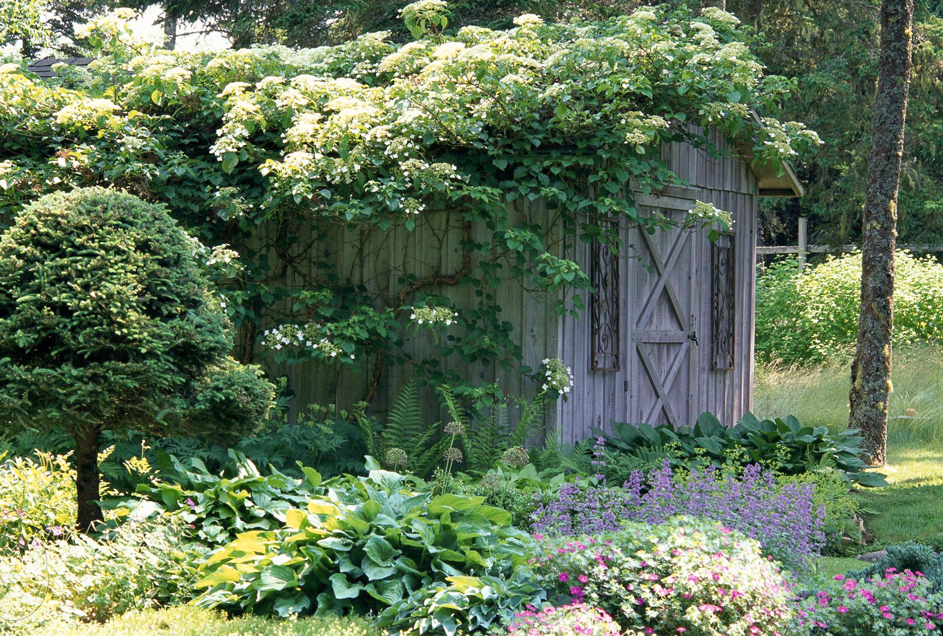 climbing hydrangeas over shed