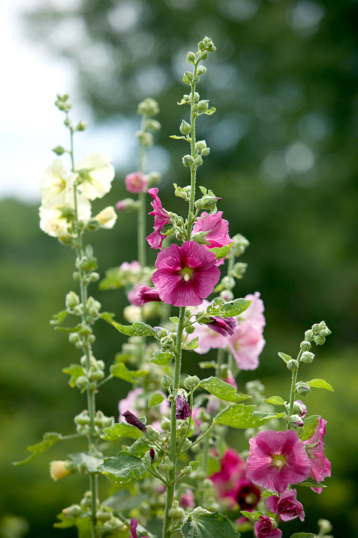 Close up of purple and white Hollyhock