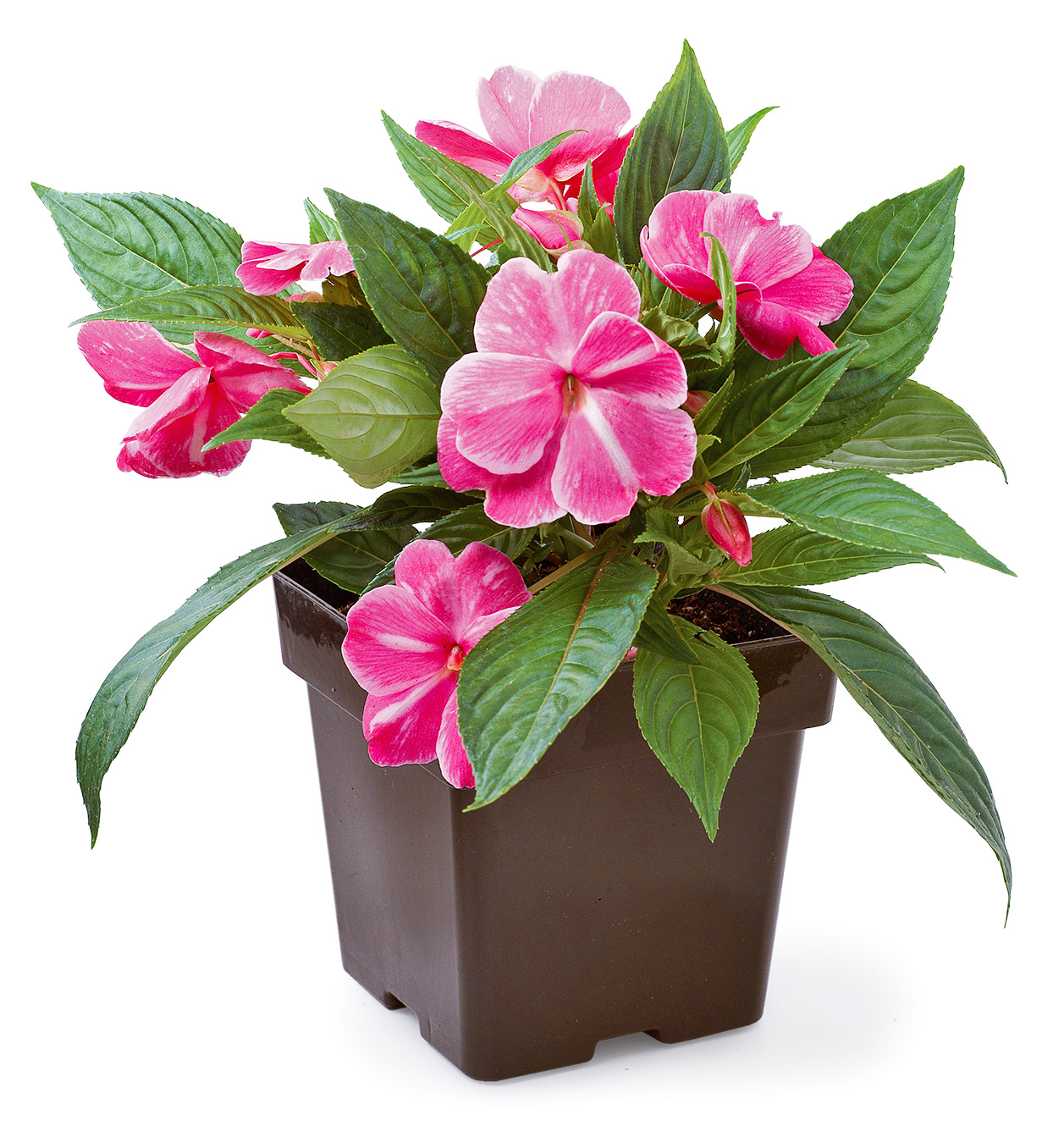 container with new guinea impatiens