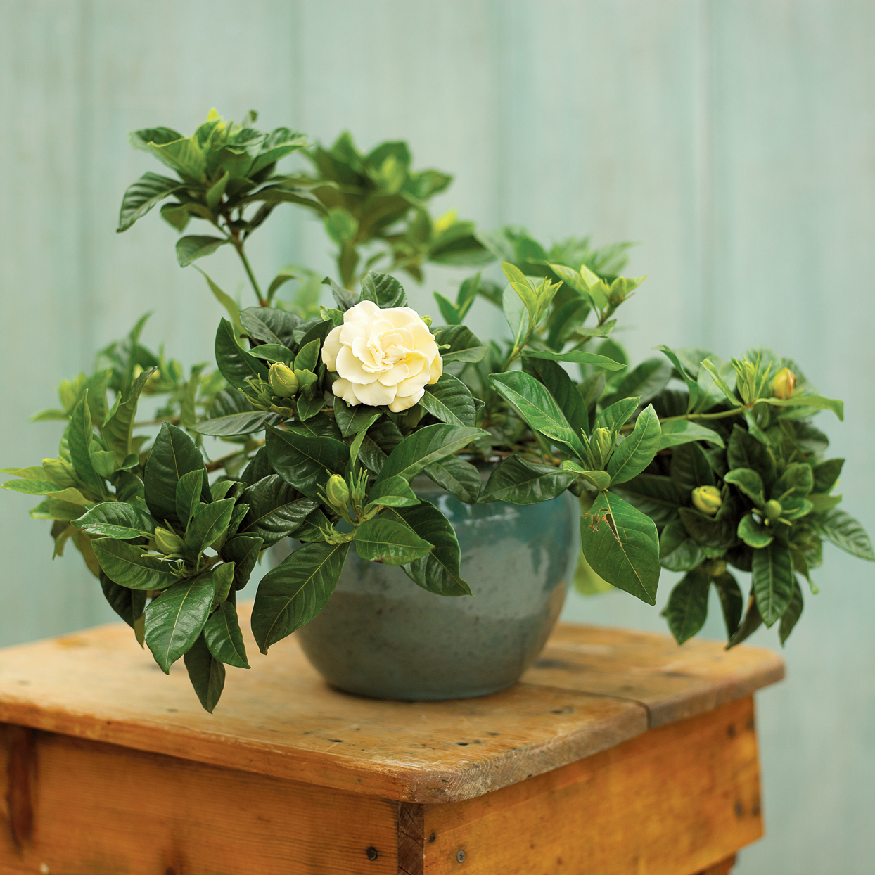 How To Prevent Yellow Leaves On Gardenias Better Homes Gardens