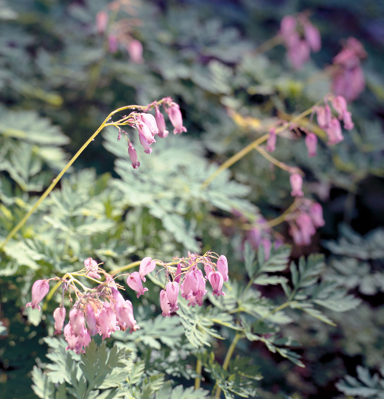 Fringed Bleeding Heart Dicentra eximia