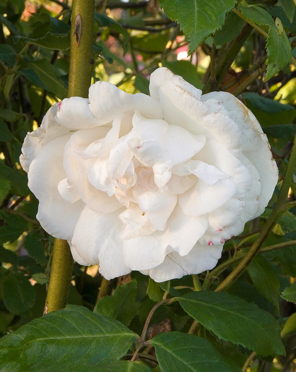 Madame alfred carrier rose