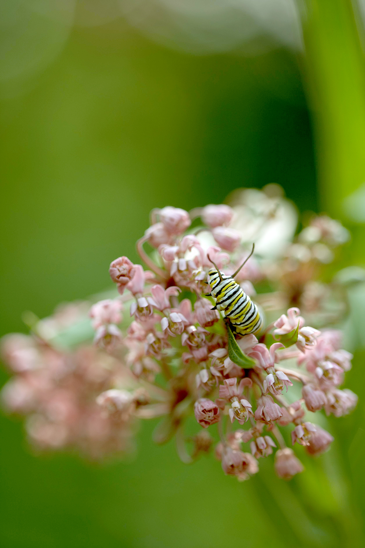 Monarch caterpillar on pink flowers
