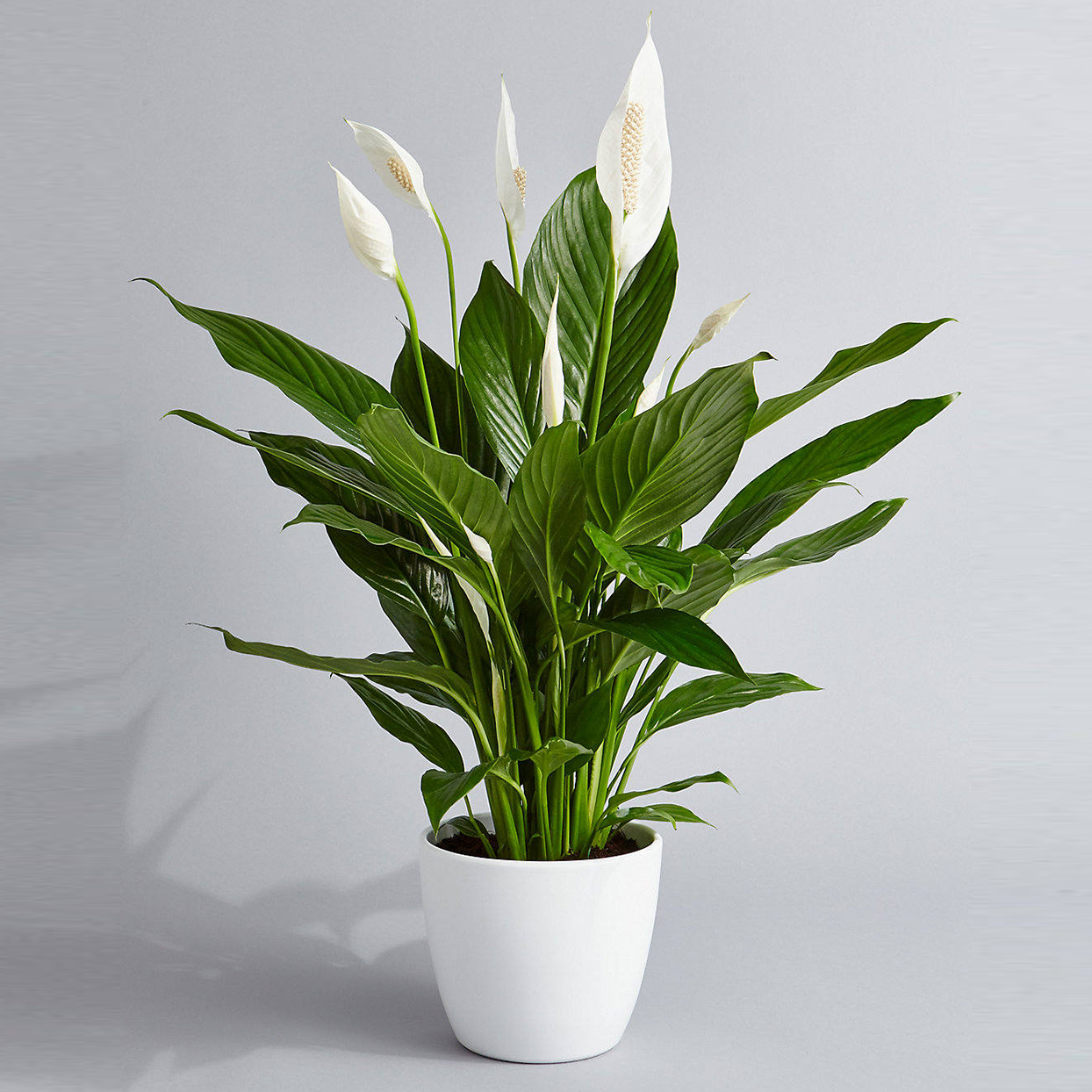 Peace Lily Air Purifying Plant Easy Care Low Light