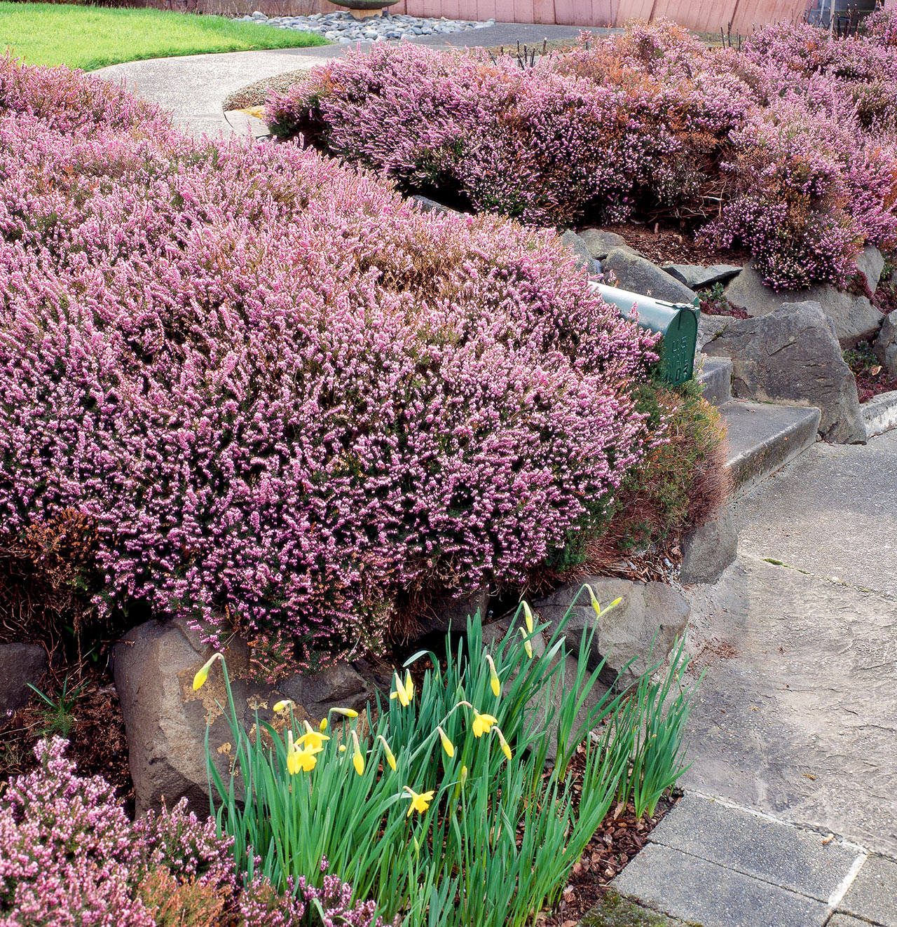 pink heather shrubs