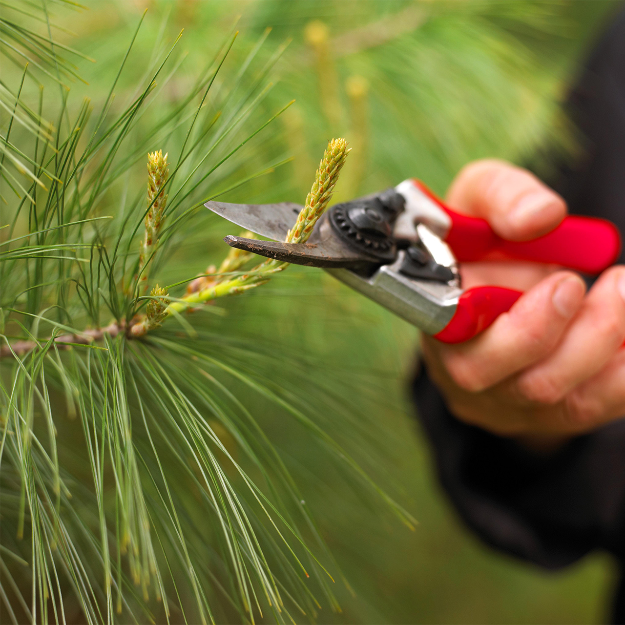 pruning pine tree with red shears