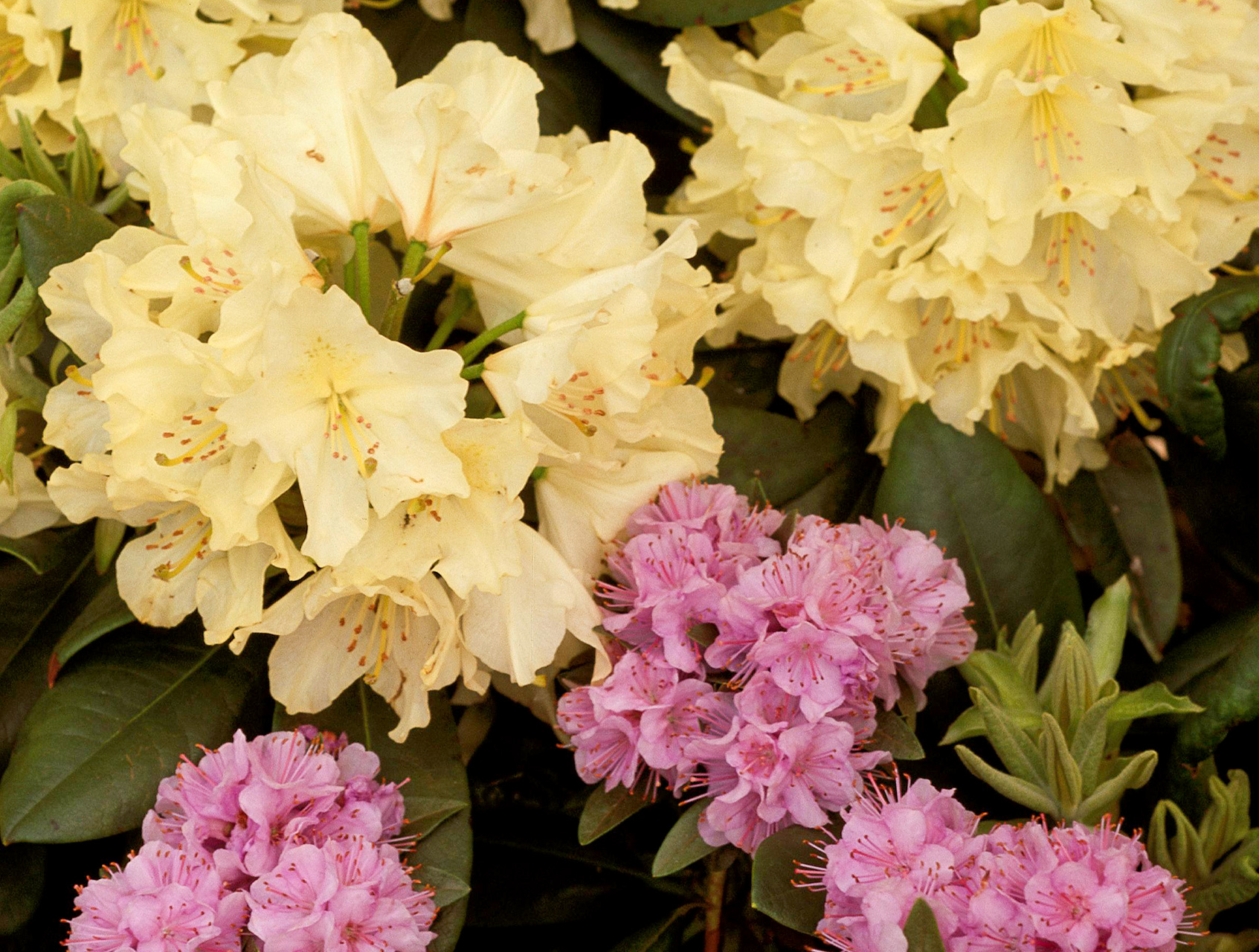mauve Rhododendron 'Faisa' with Rhododendron 'Capistrano'