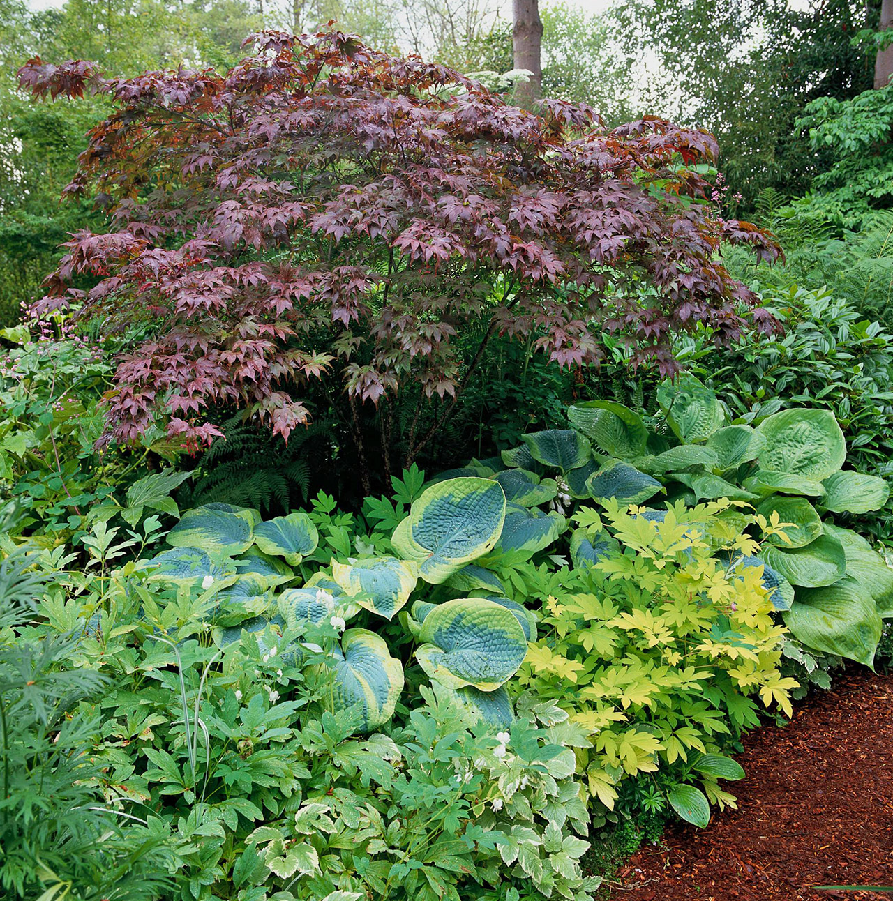 shade garden featuring red japanese maple