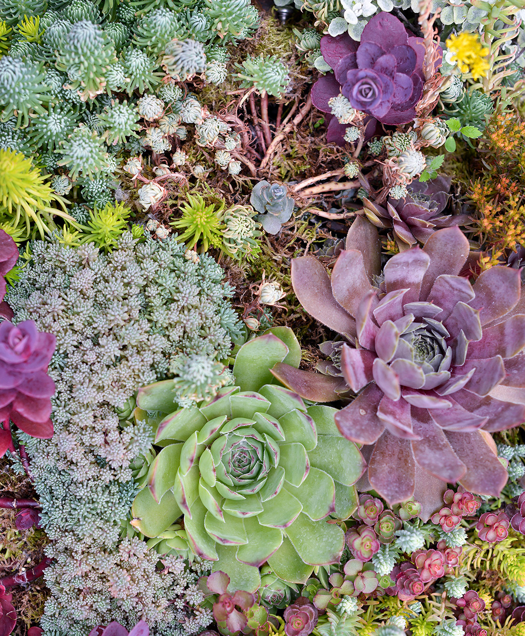 Succulents 'Hens & Chicks'