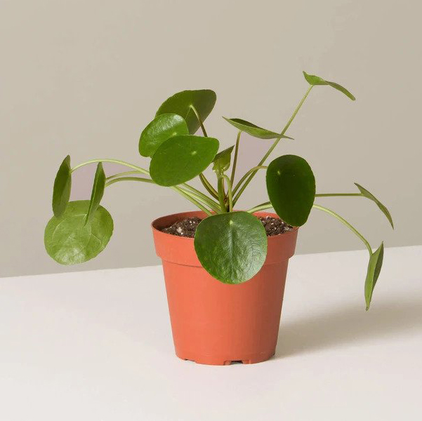 pilea peperomioides in grower pot on table on plain background