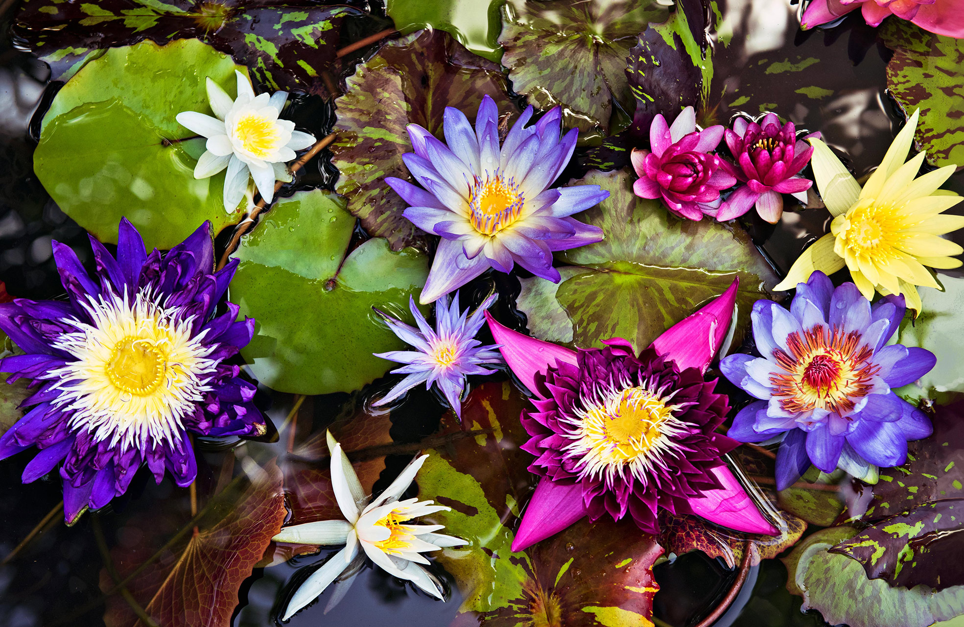 various water lilies