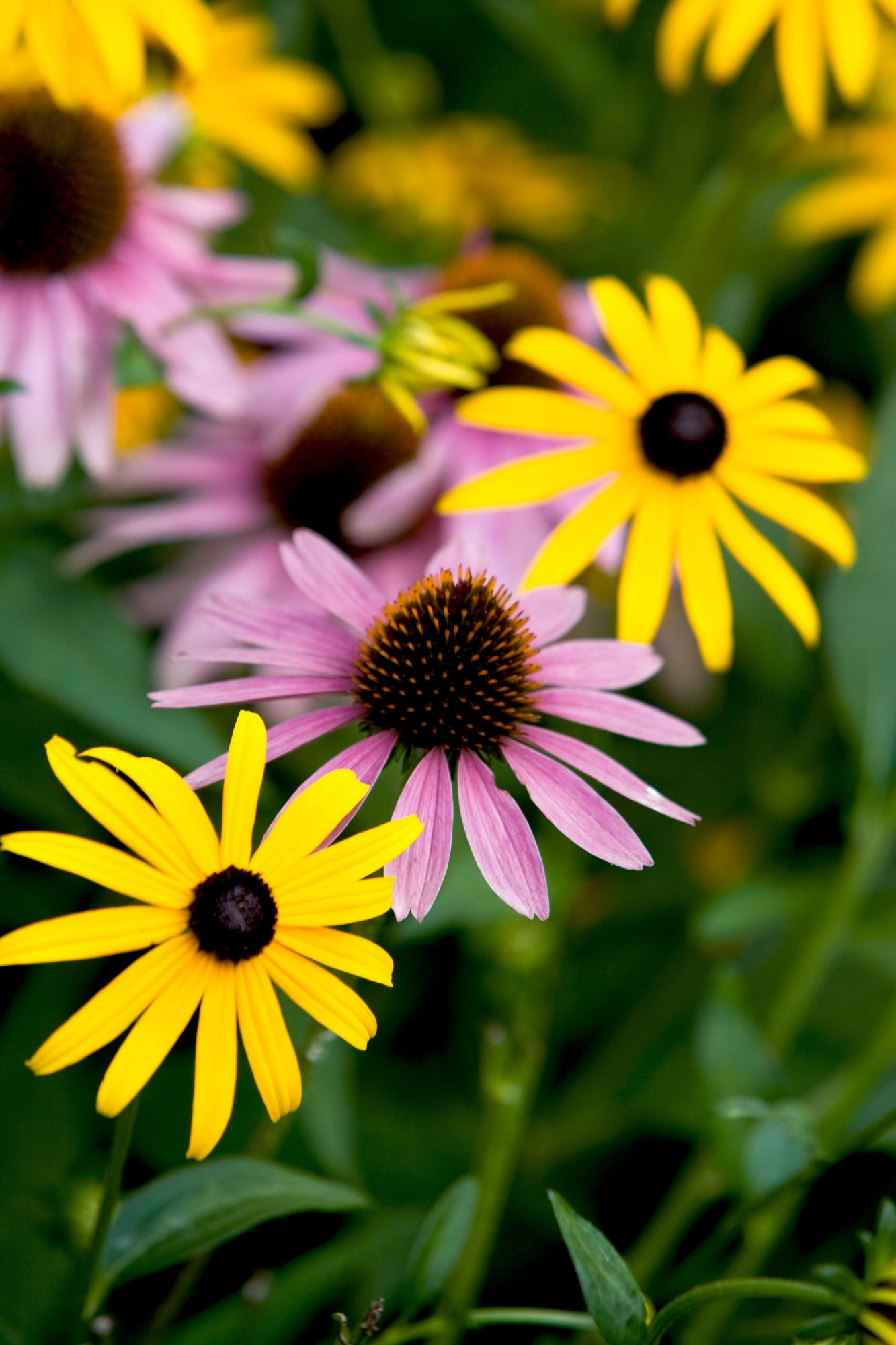 Black Eyed Susan and Purple Cone Flowers