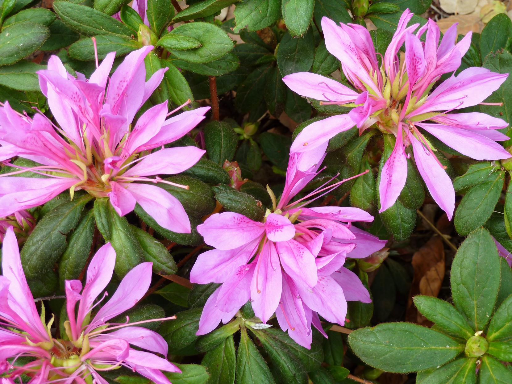 'purple Dragon' Azalea