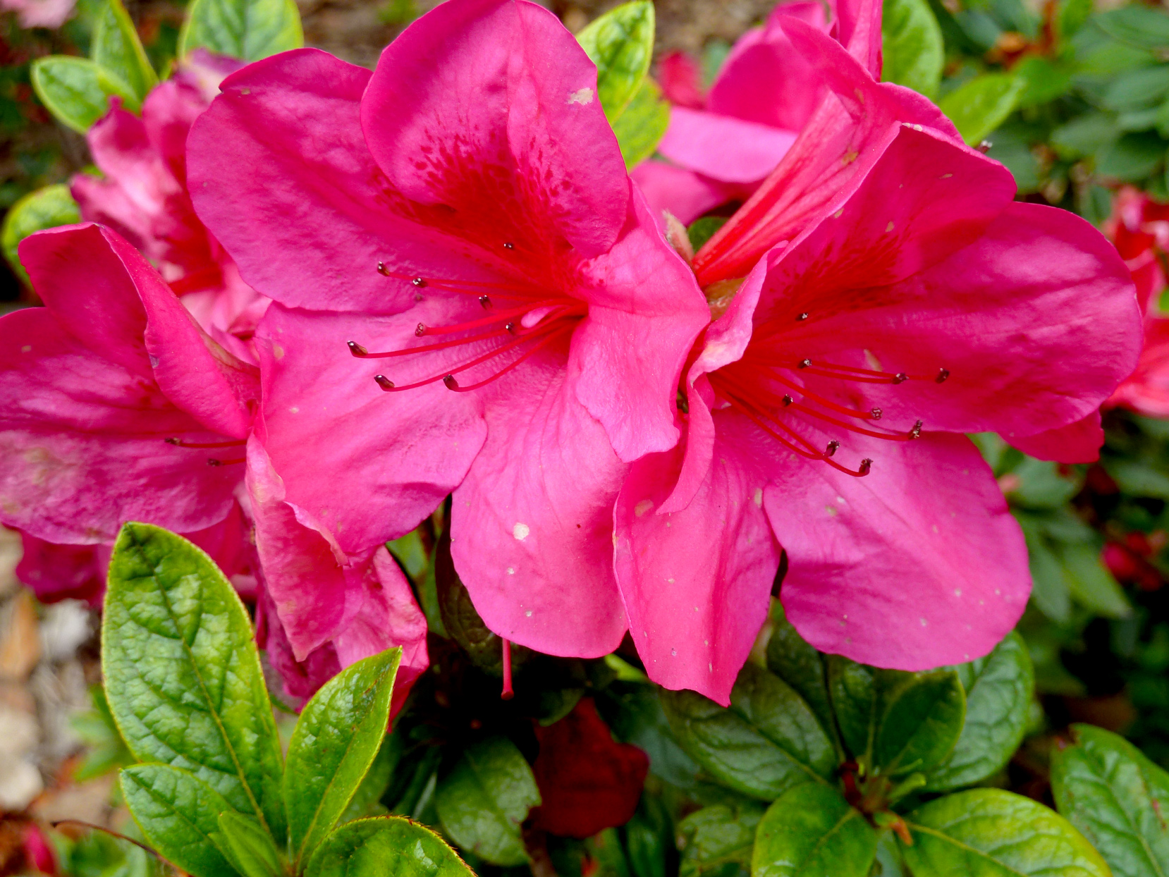 'rose Queen' Azalea