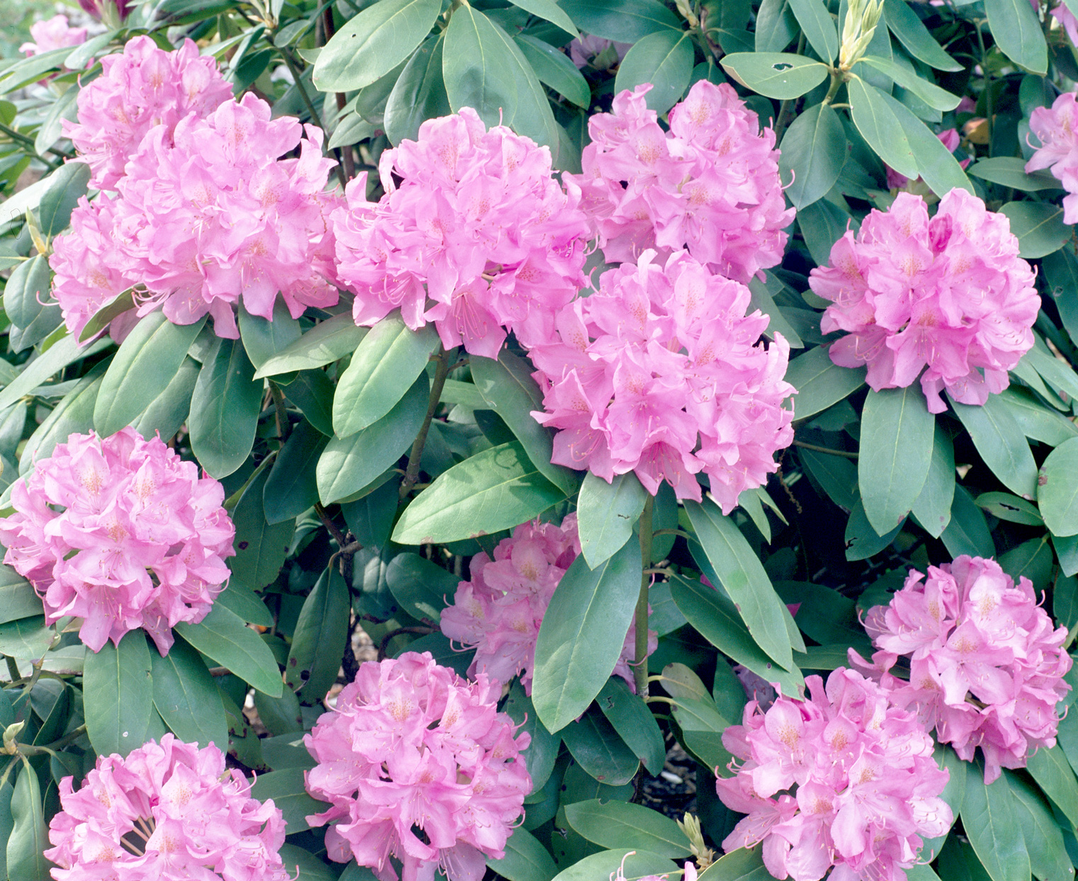 Trude Webster Rhododendron