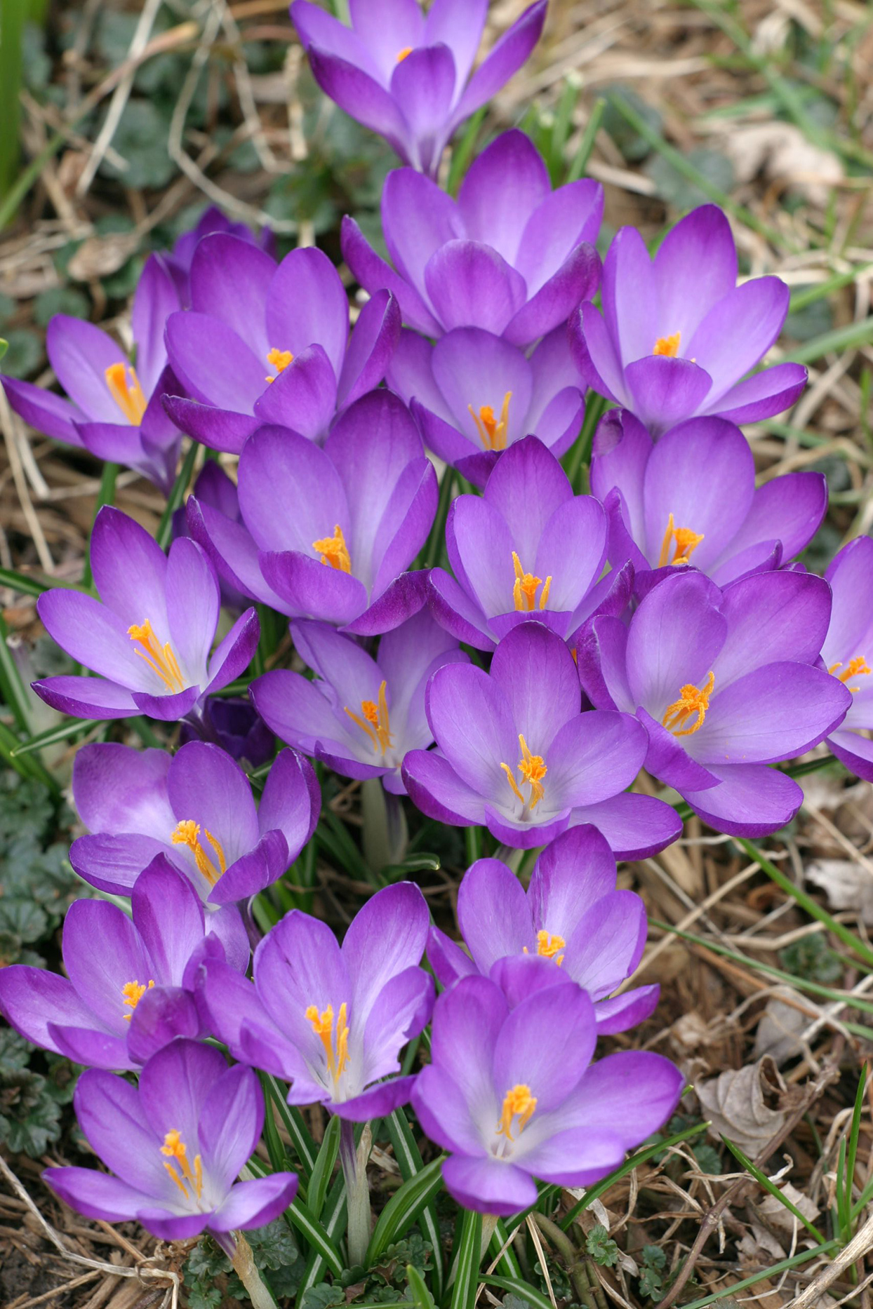purple crocuses in garden