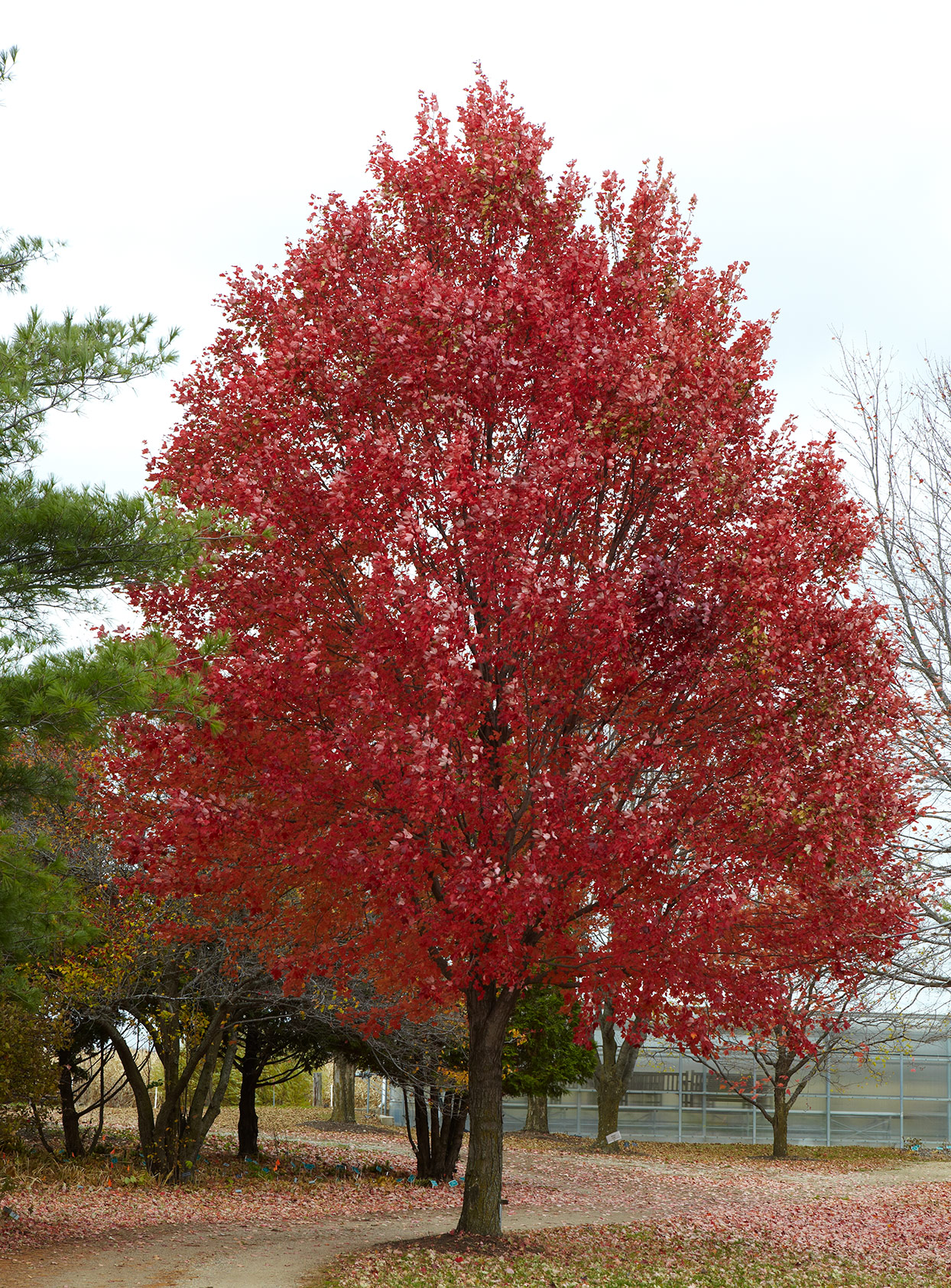 How Long A Newly Planted Red Maple Takes To Grow To Full Size
