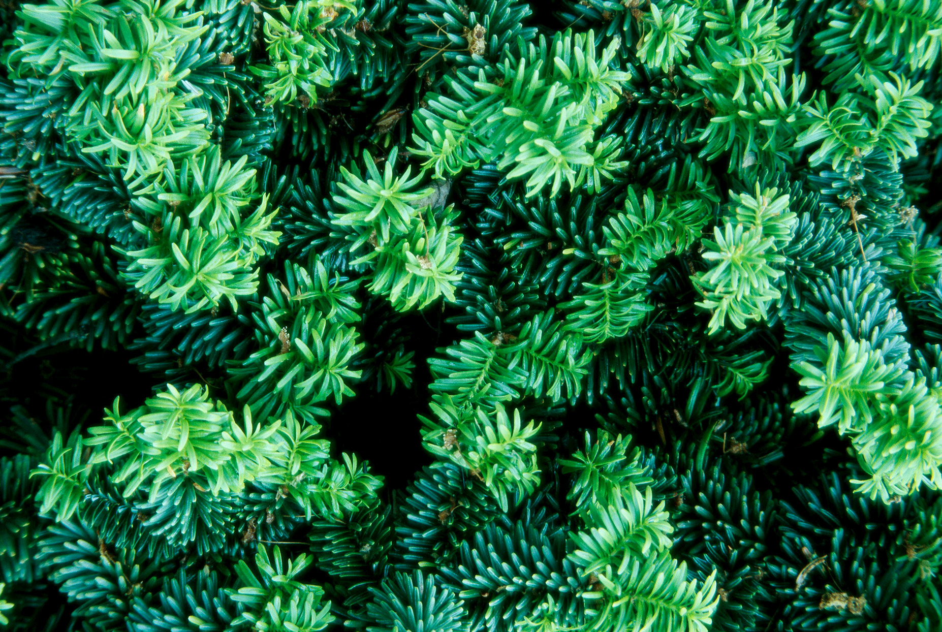 Close up of green Yew Taxus