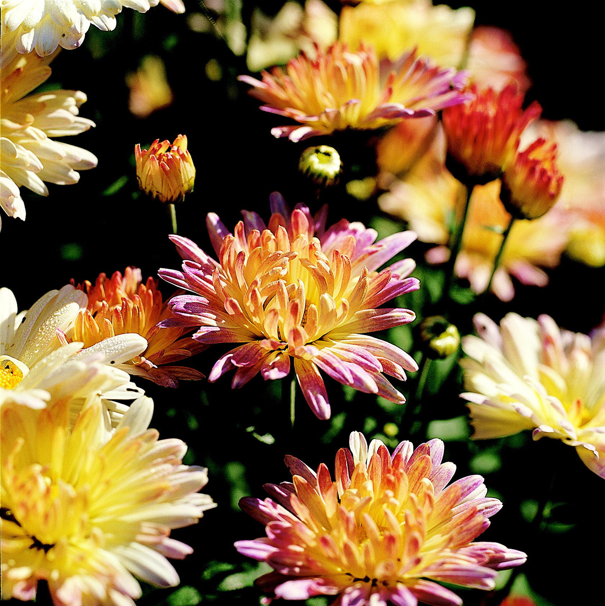 'Marilyn' chrysanthemum