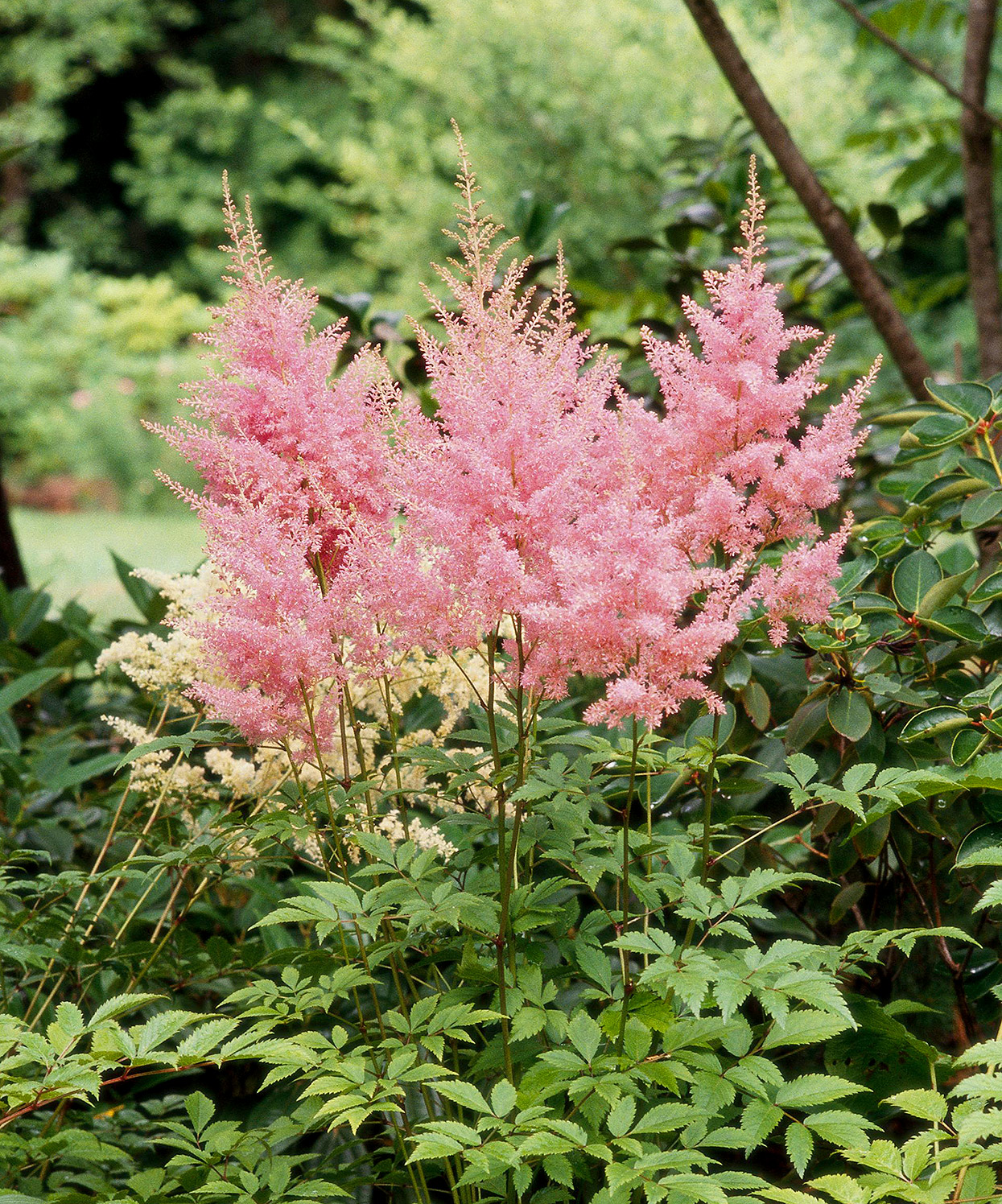 pink superba chinese astilbe