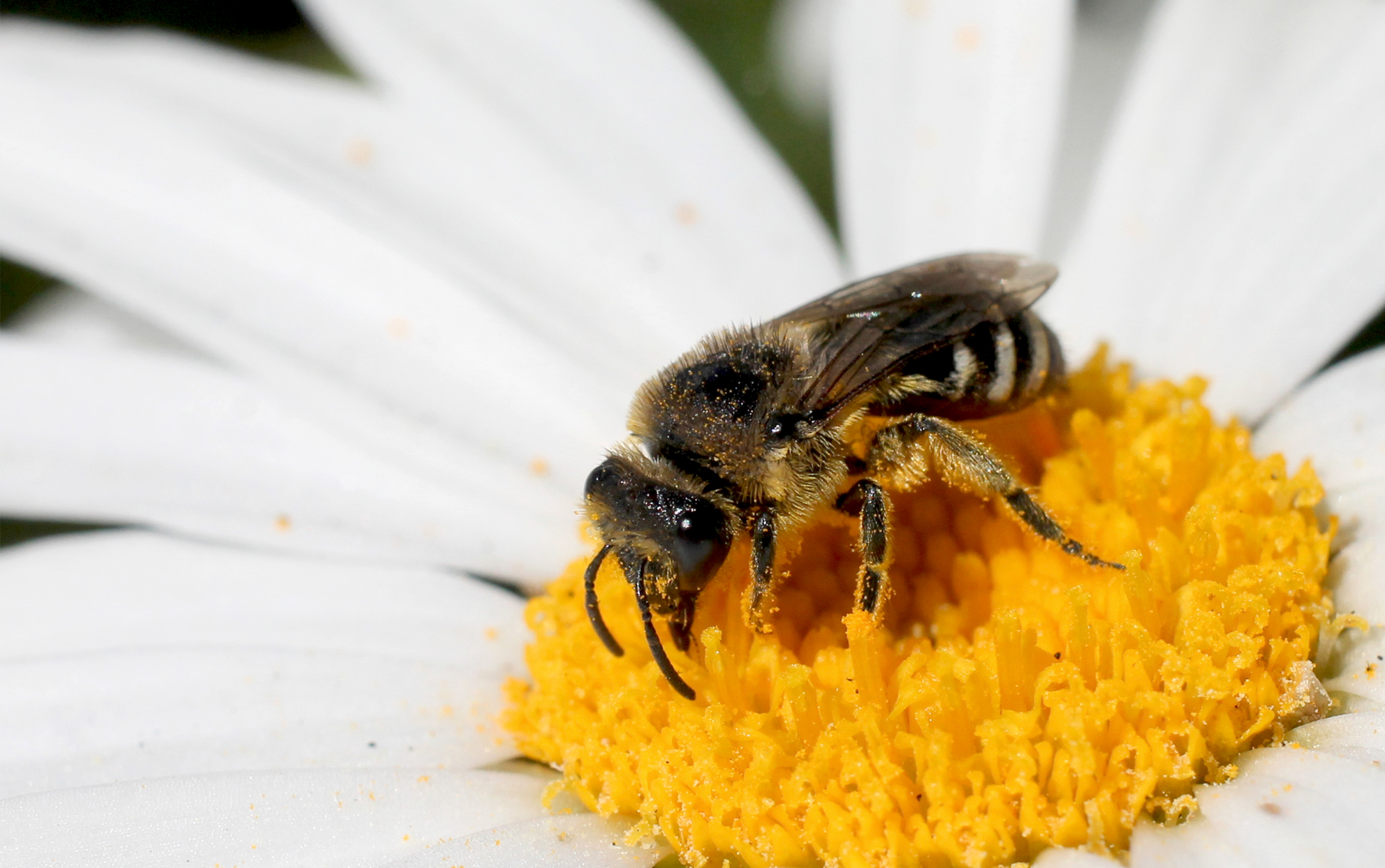 Solitary Bee on a daisy