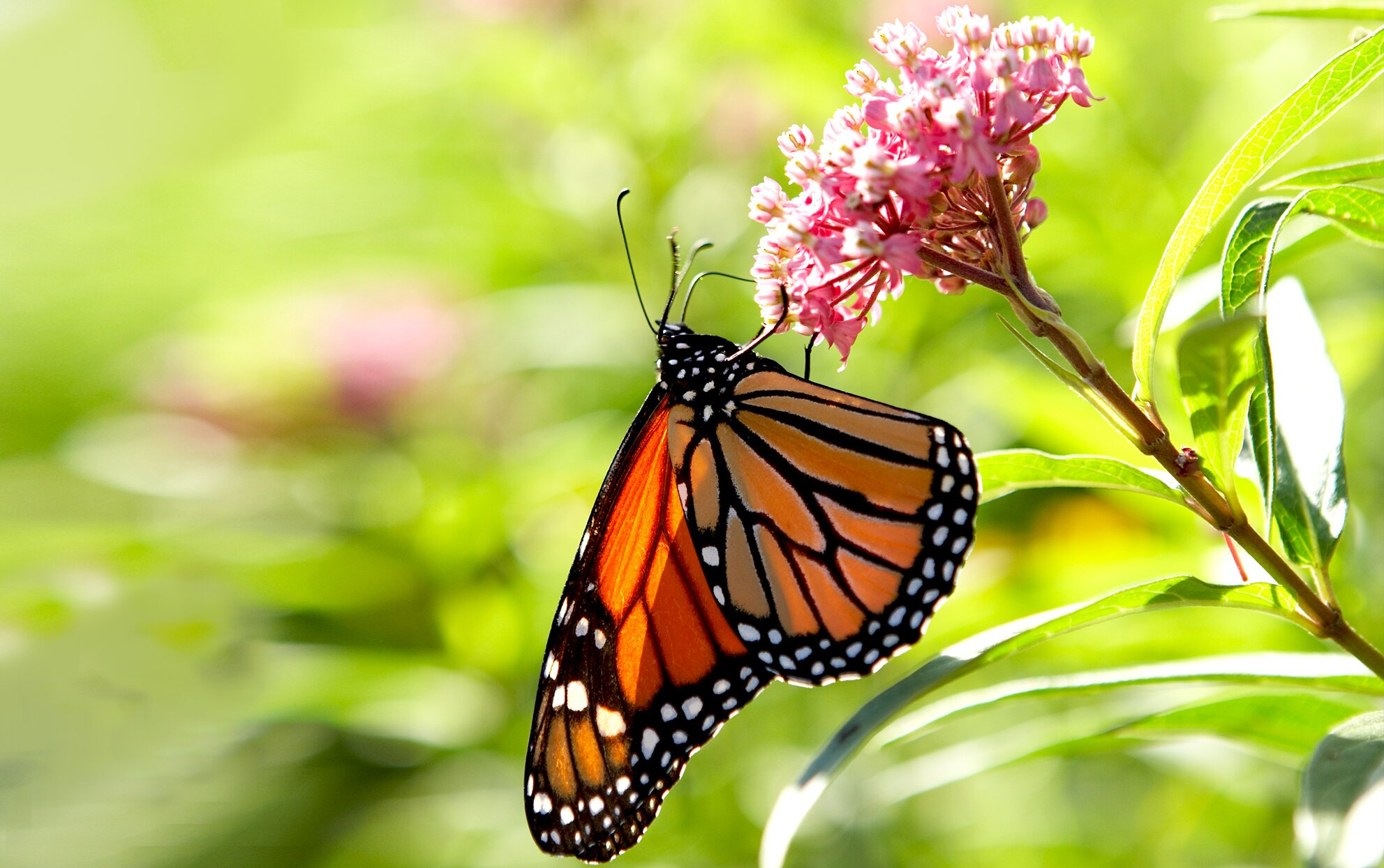 Monarch butterfly on a Milkweed