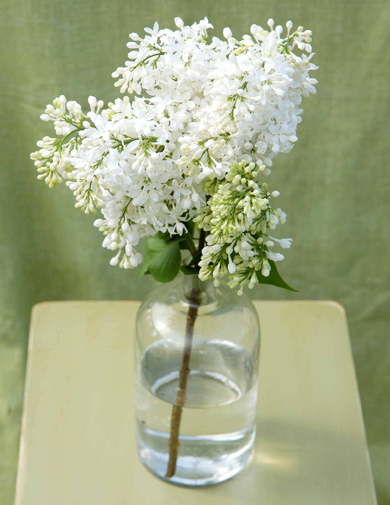 Syringa 'Angel White' lilac blooms in vase