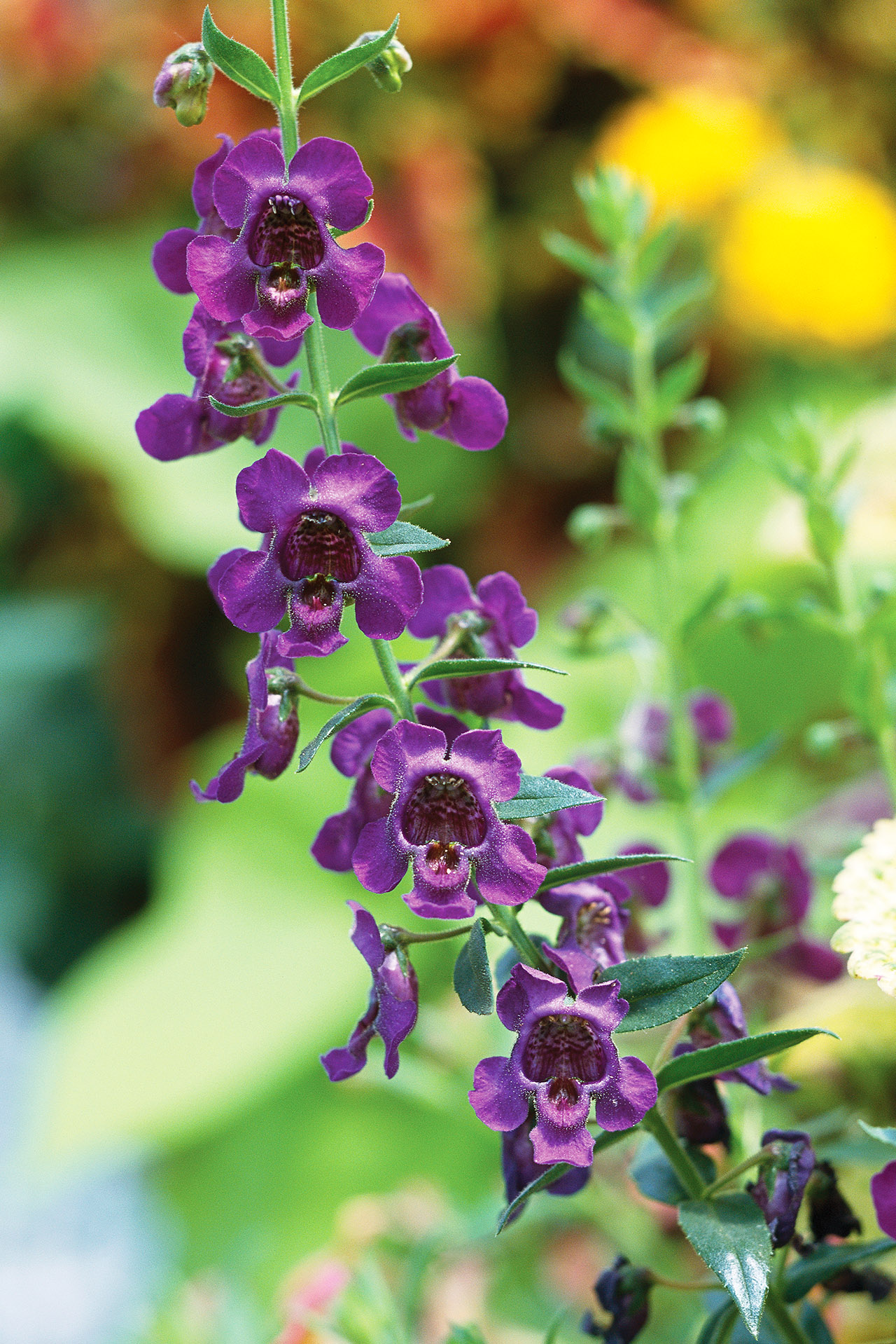Angelonia Better Homes Gardens