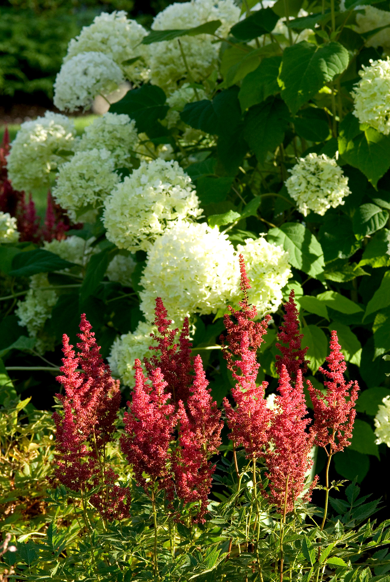Hydrangeas Make a Beautiful Backdrop for Perennials