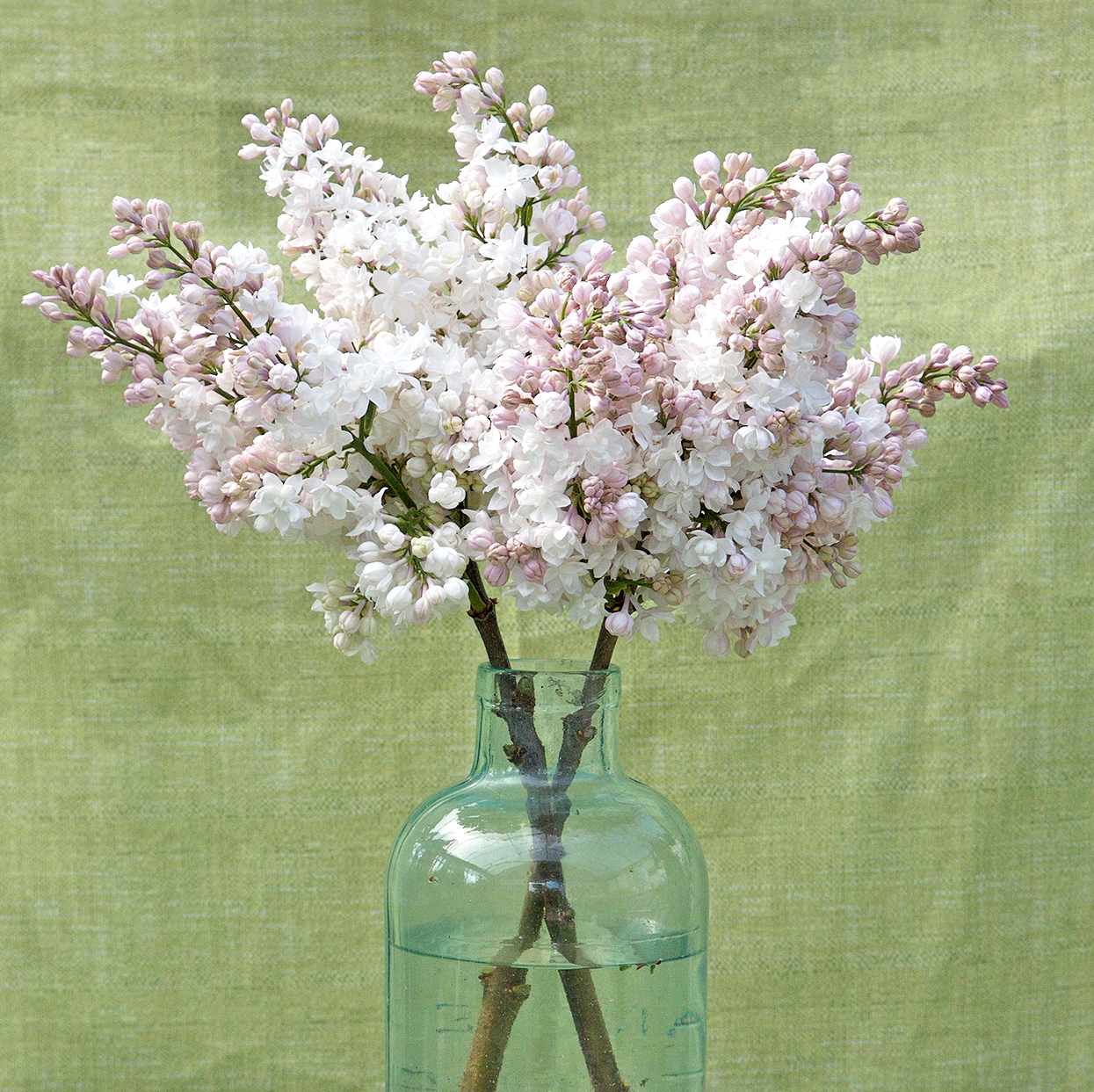 pink Syringa 'Beauty of Moscow' lilac cutting in vase