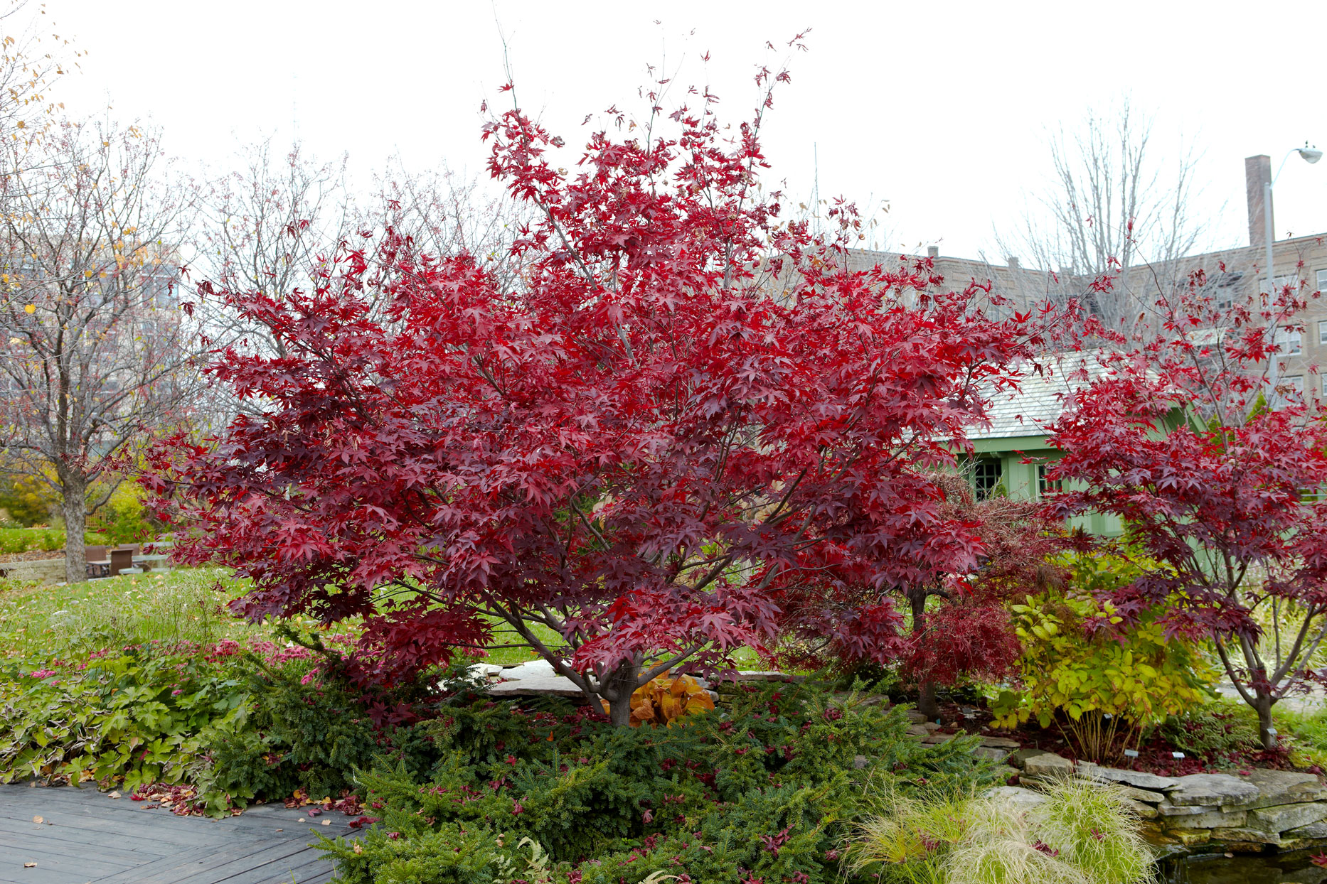 'Bloodgood' Japanese maple Acer palmatum