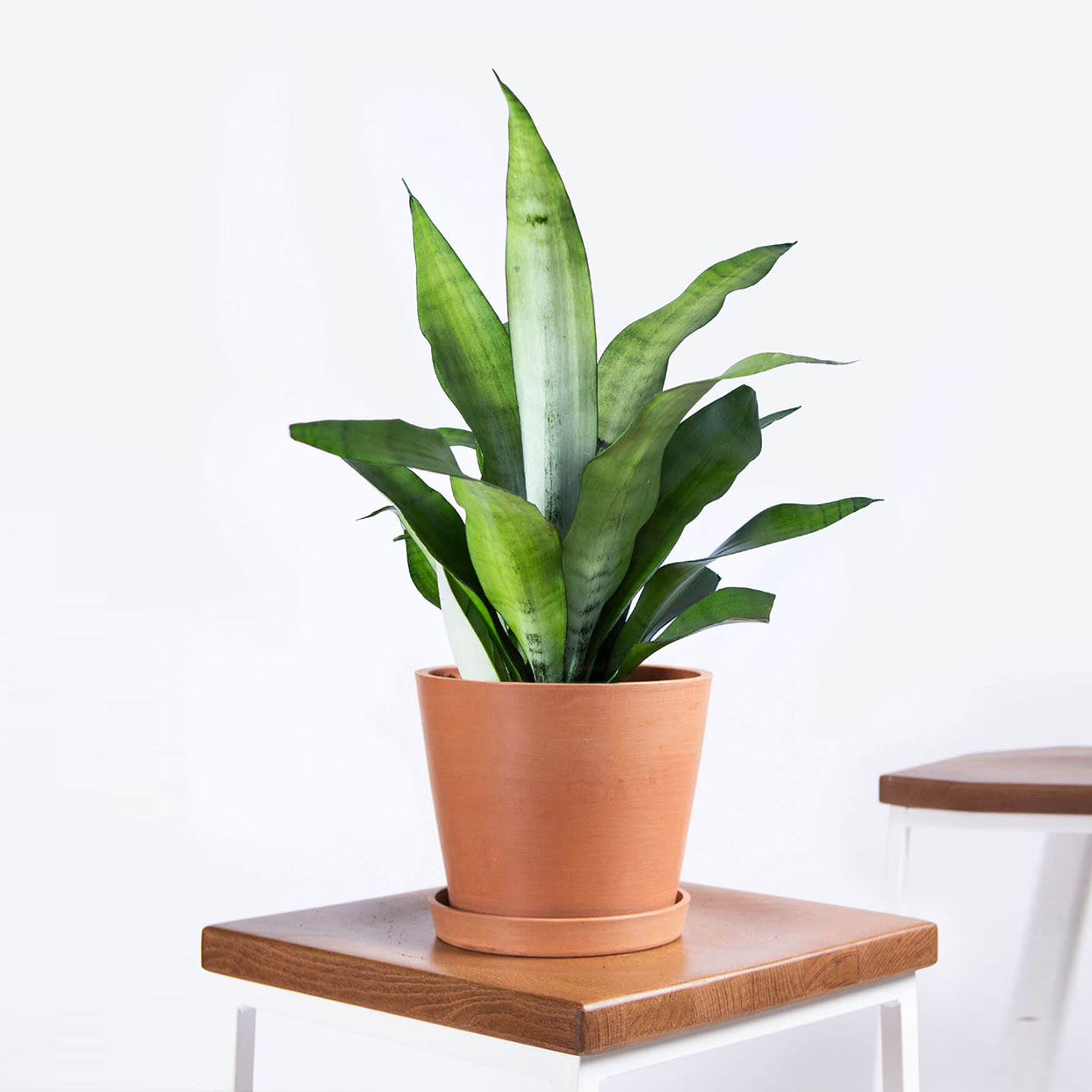 Potted Sansevieria Moonshine Indoor Plant