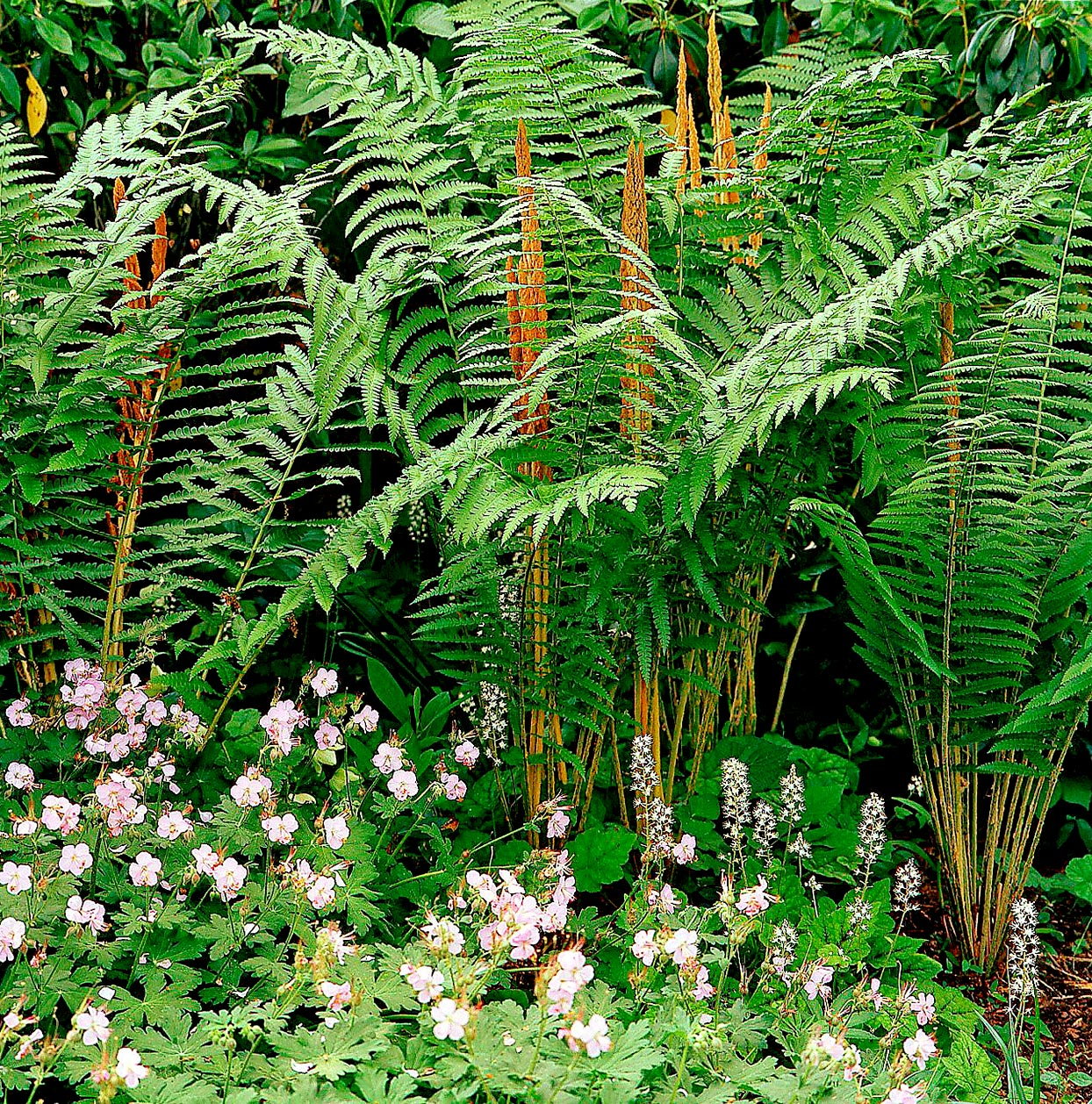Cinnamon ferns and tiarella
