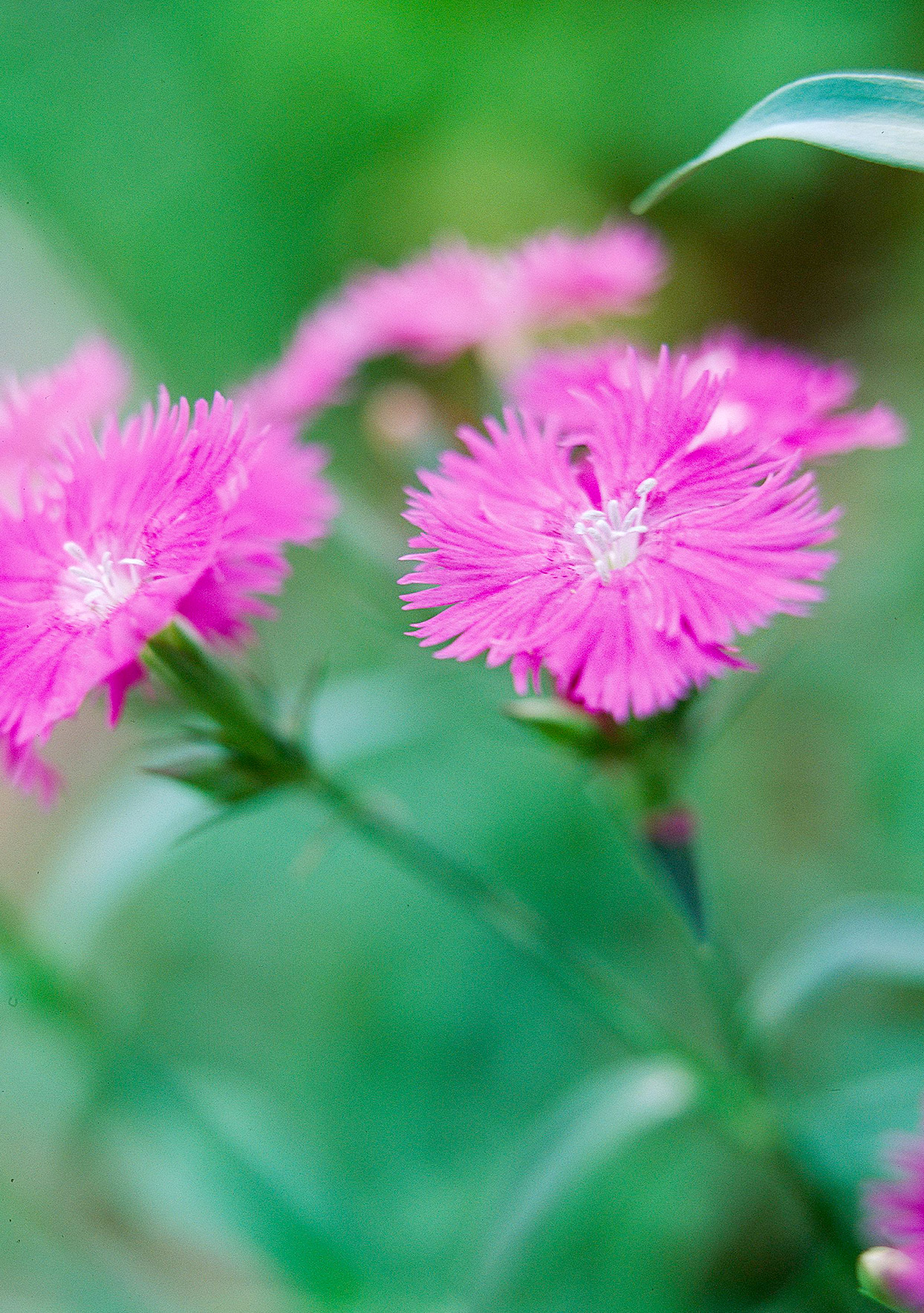 Close up of China Pink flowers