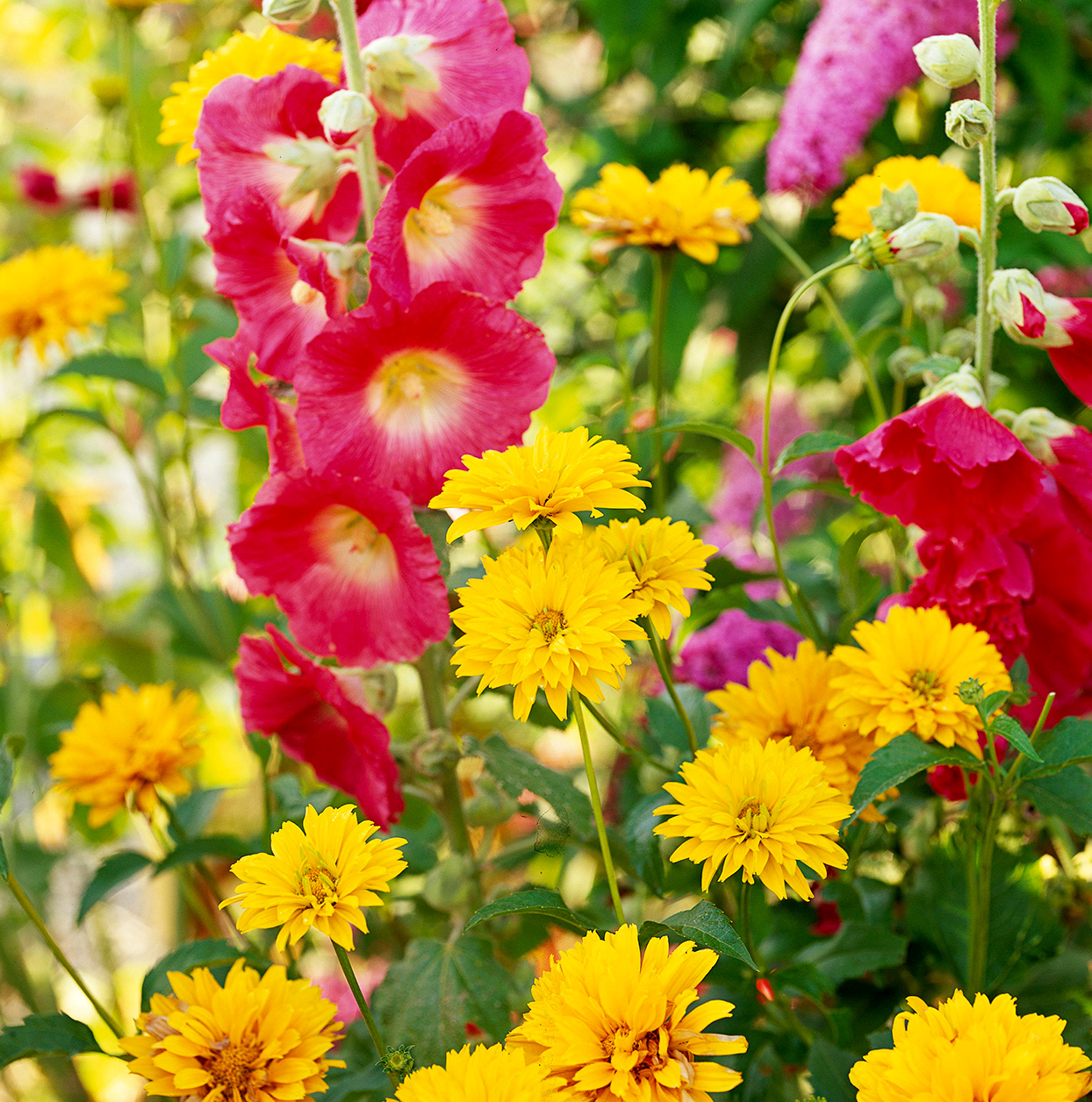 Cottage style garden with yellow and pink flowers