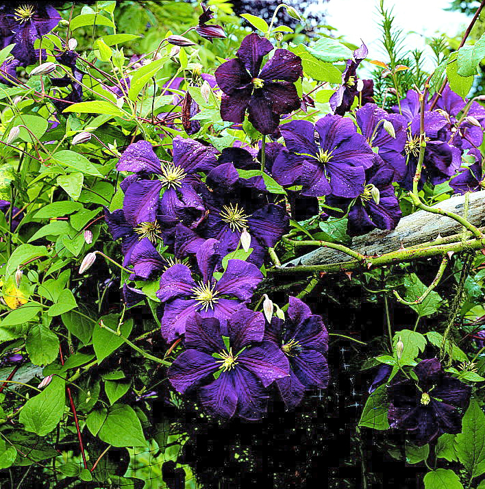 detail of blue Clematis and foliage