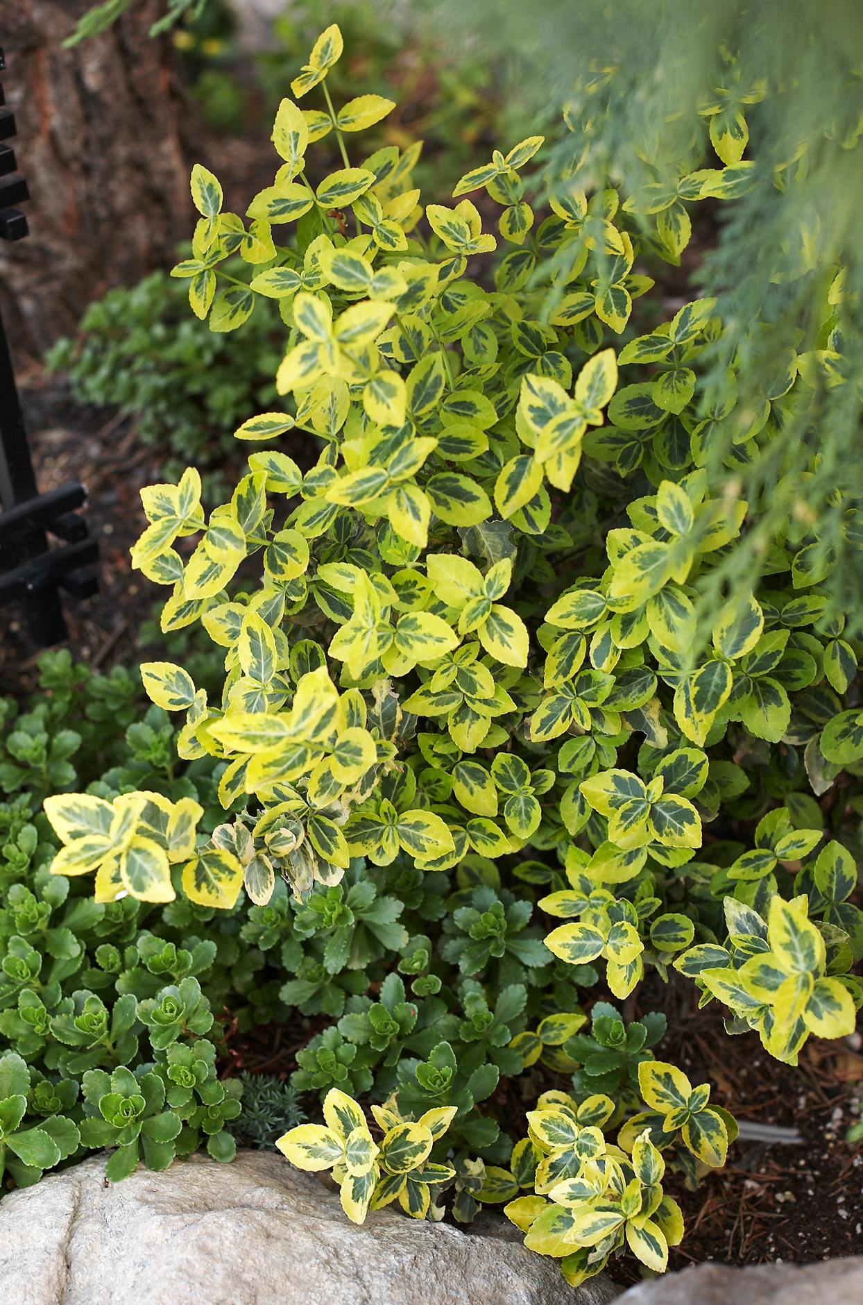 'Emerald n Gold' Wintercreeper