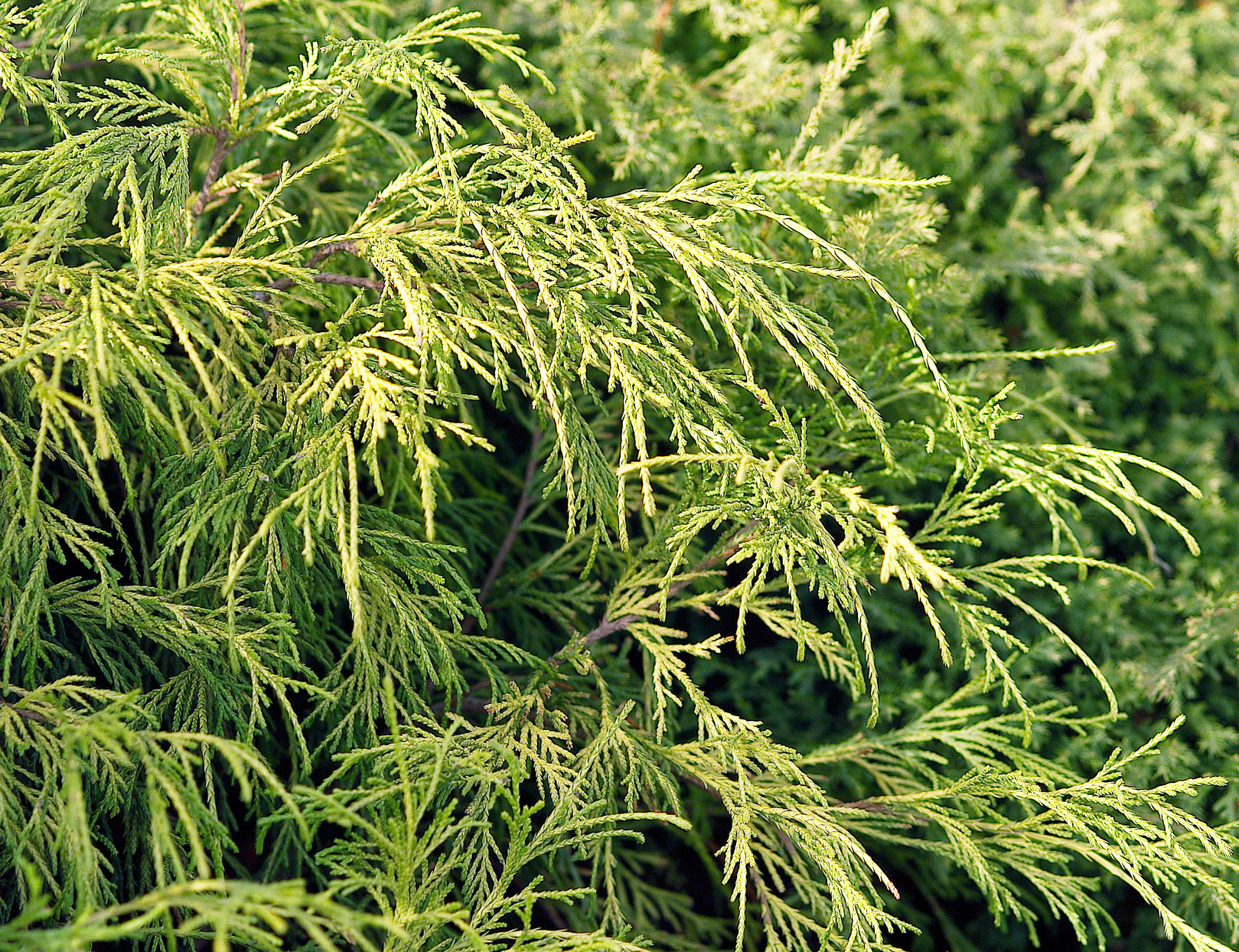 Golden Threadleaf False Cypress