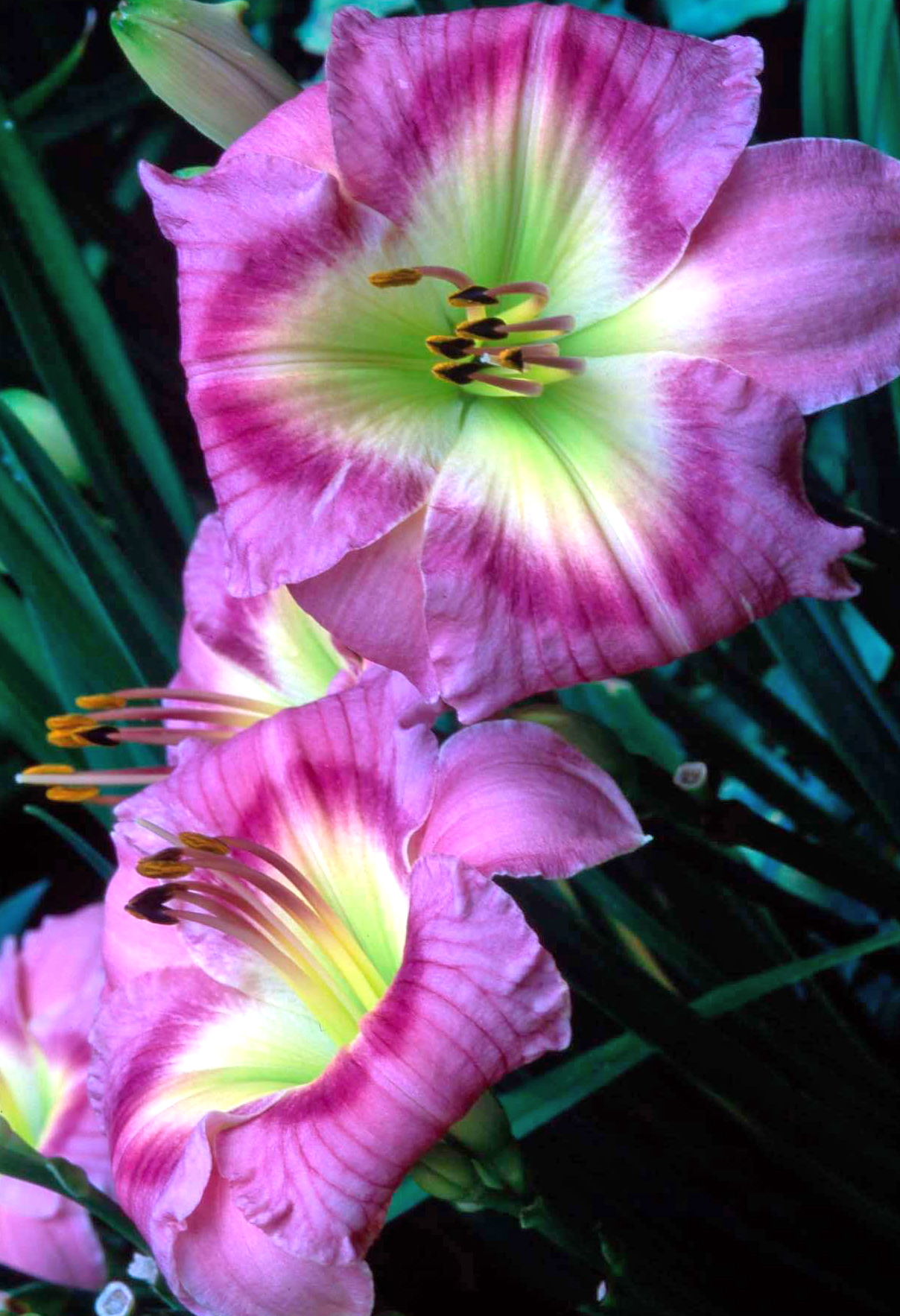 green, yellow, pink ombre daylily