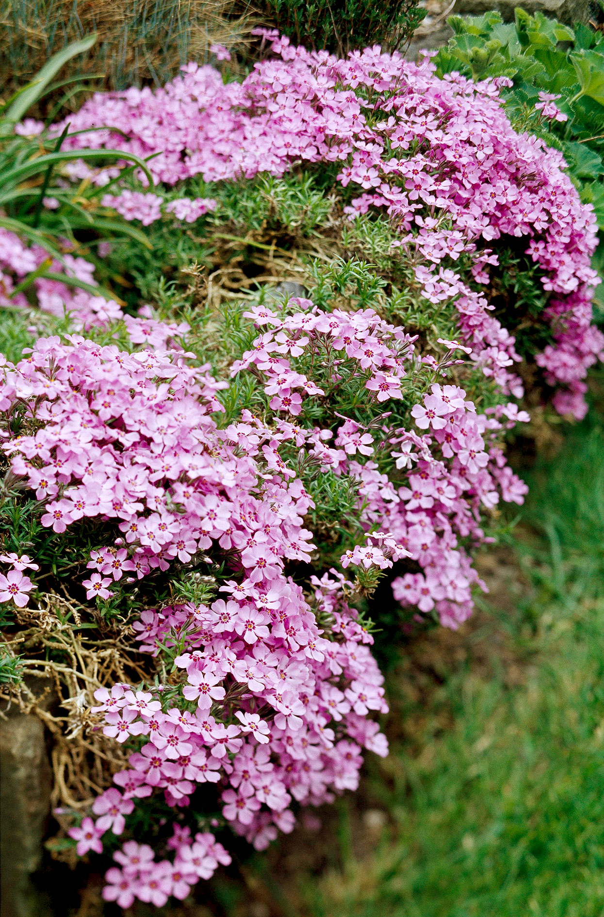 moss phlox creeping perennial groundcover with pink blossoms