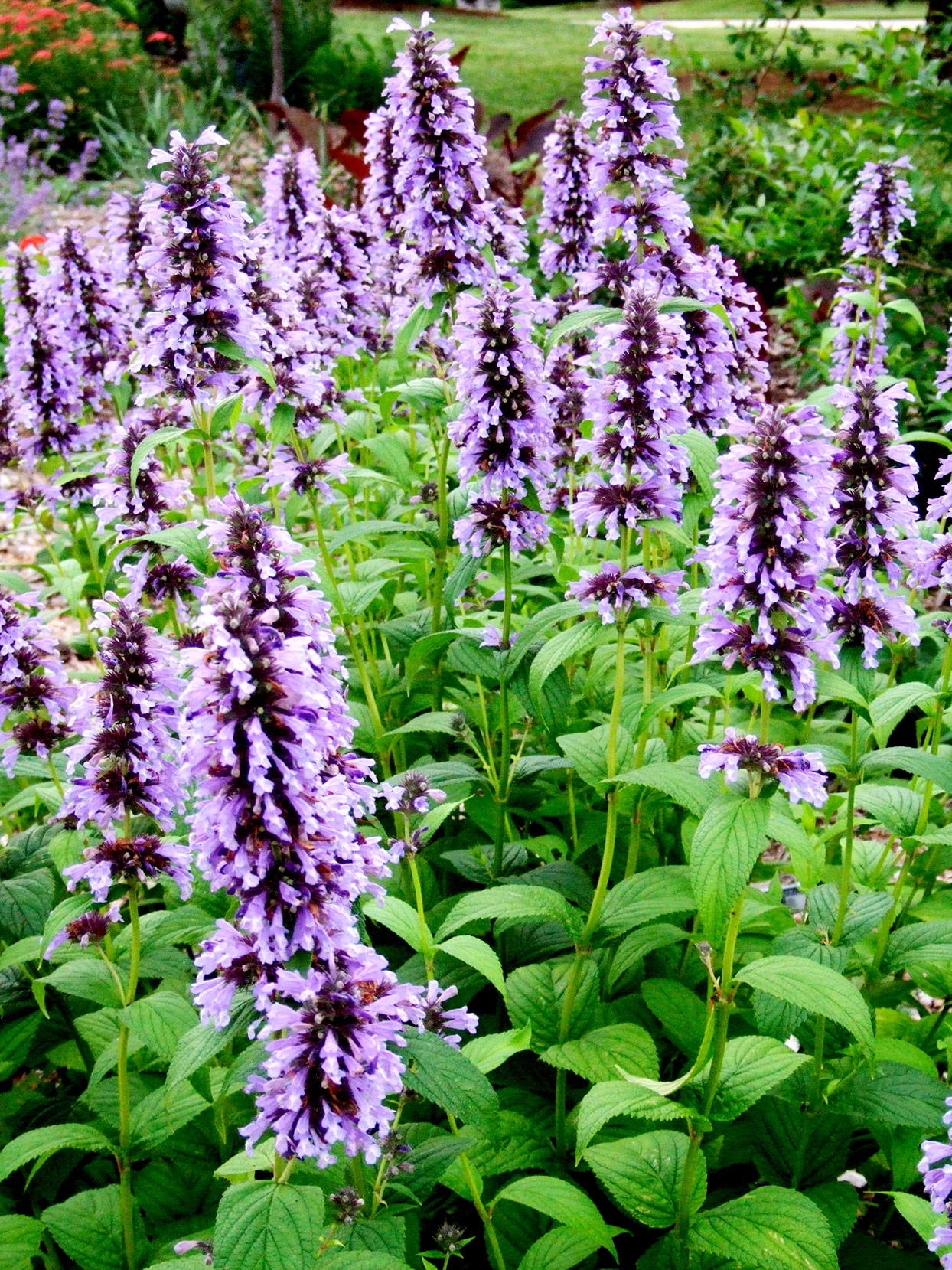 Nepeta subsessilis Catmint