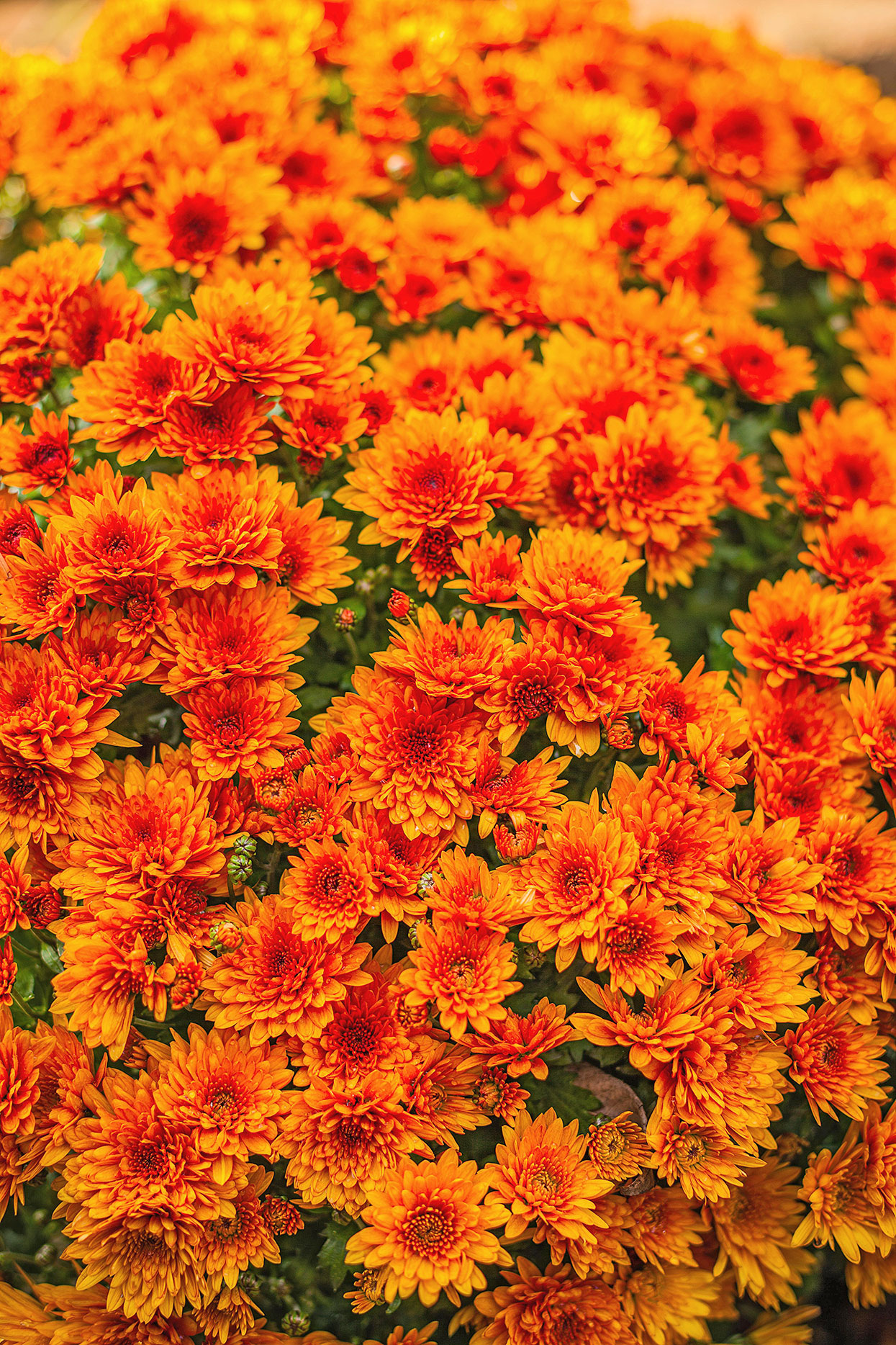 bright orange chrysanthemum perennial blooms