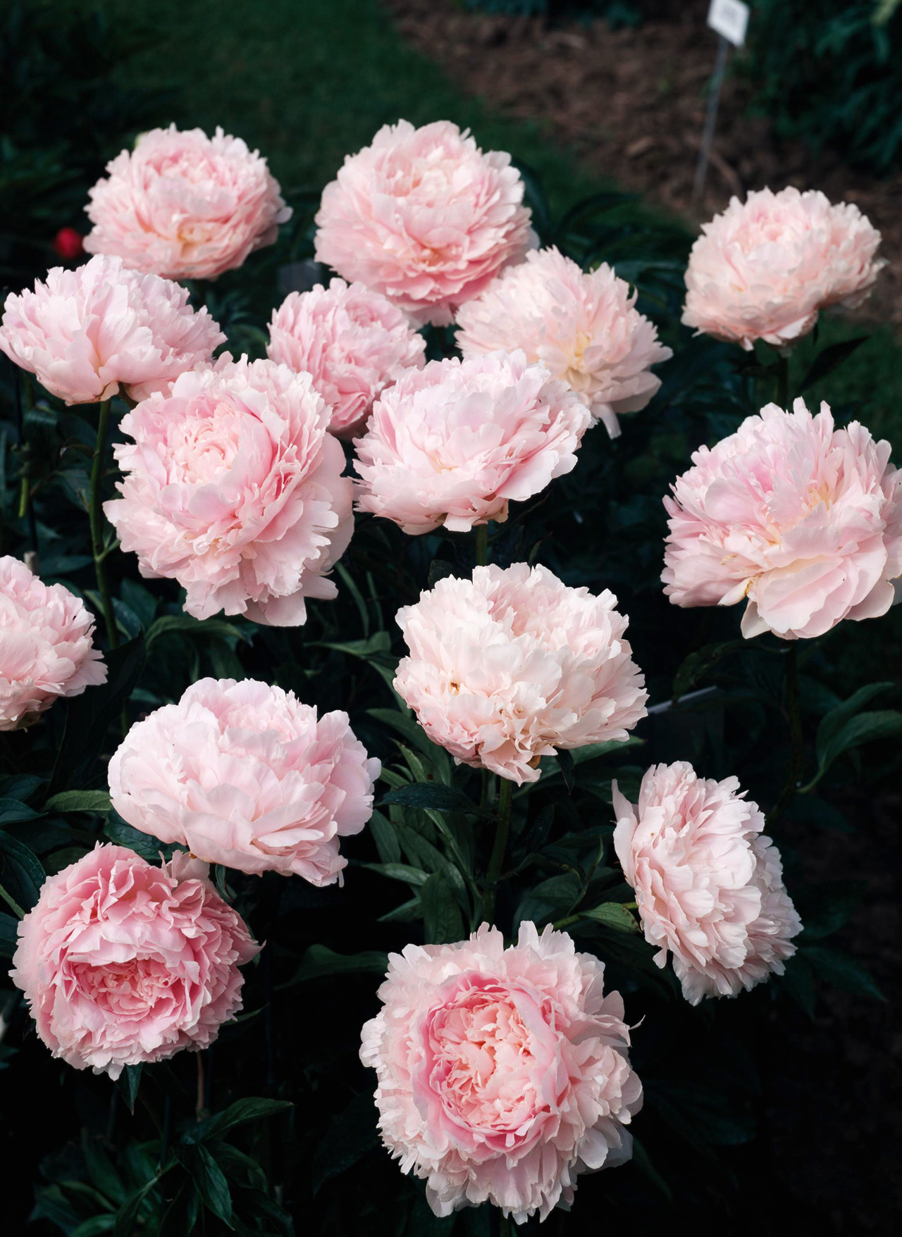 Paeonia Pillow Talk flowers